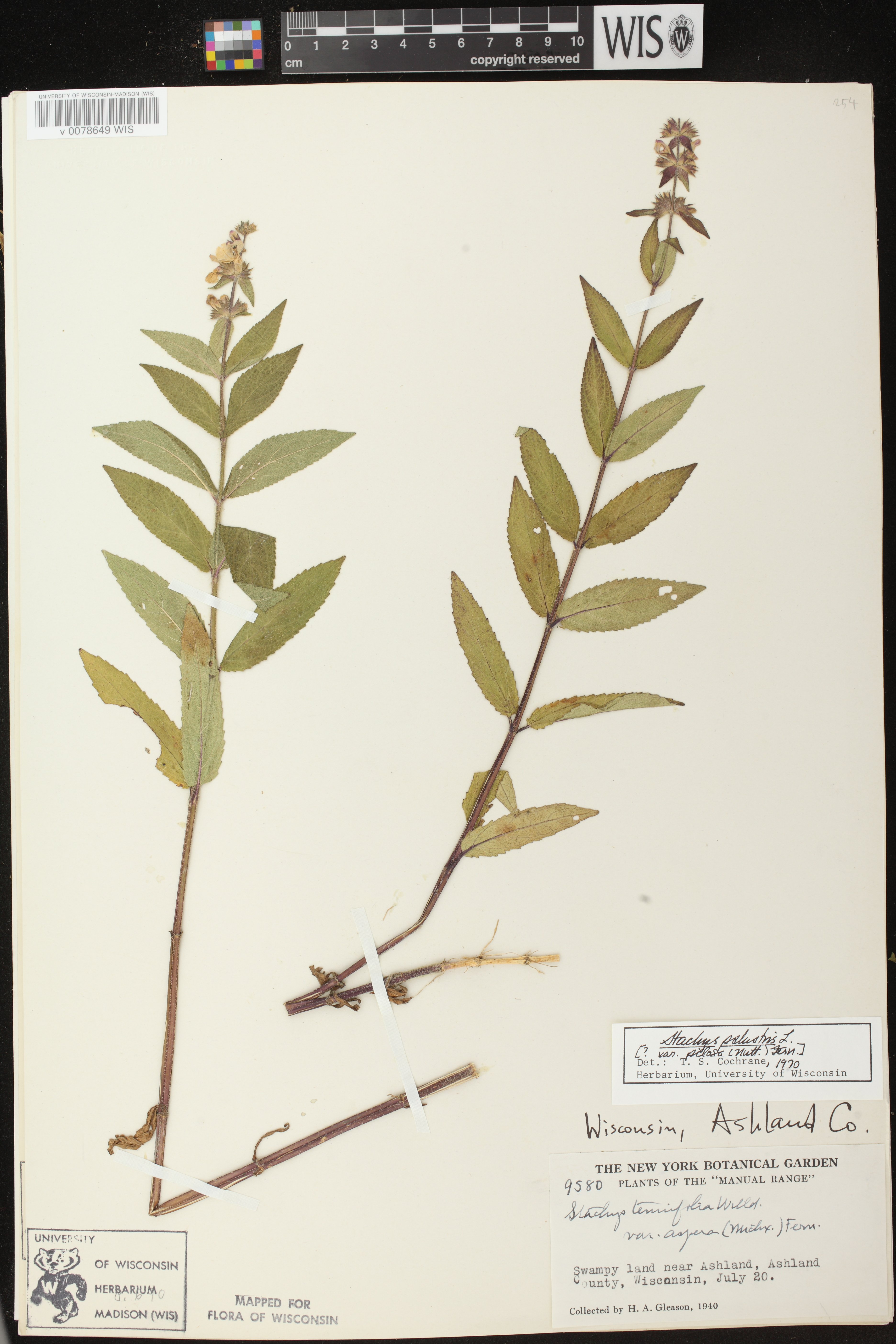 Image of Stachys pilosa