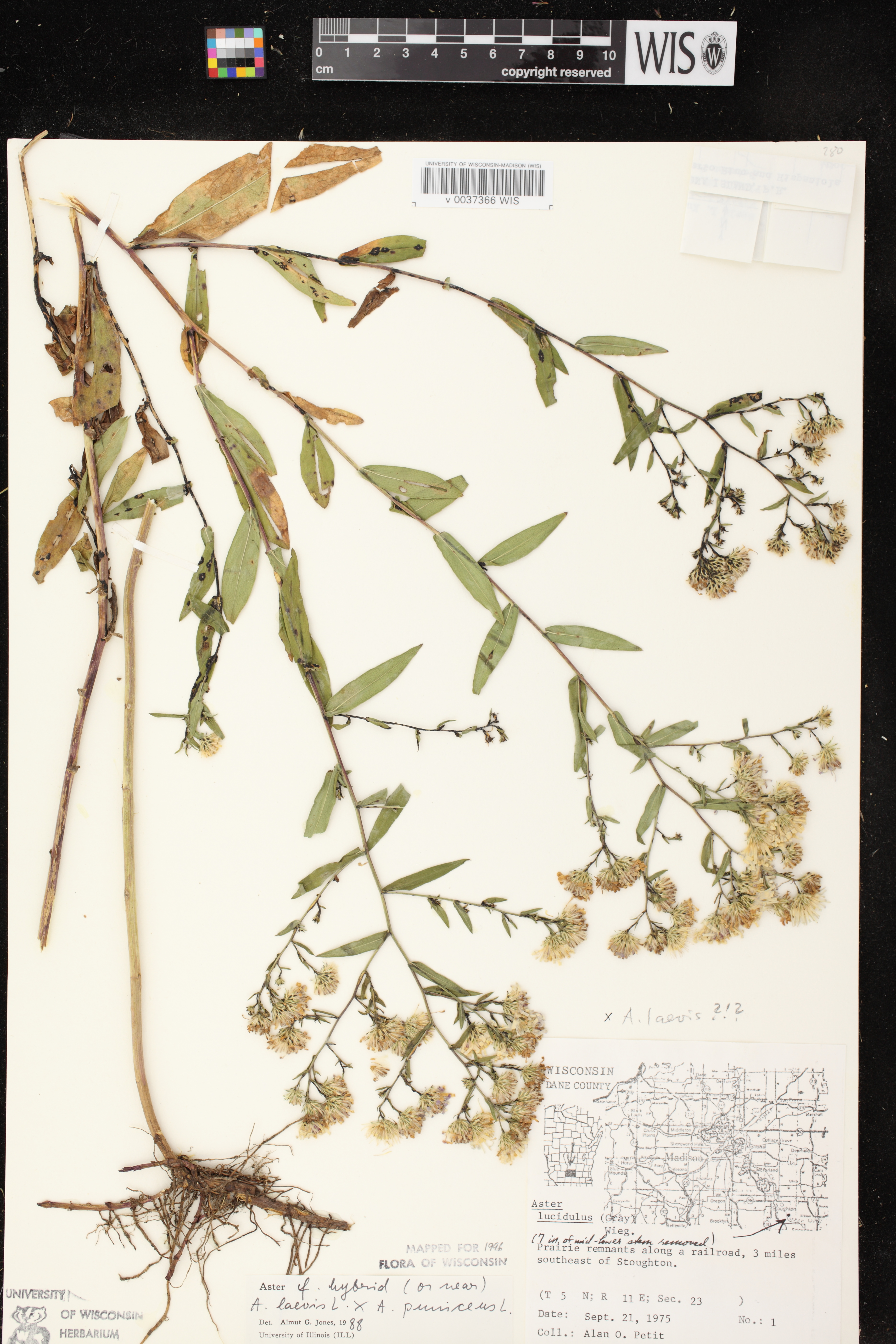 Image of Symphyotrichum laeve x s. puniceum