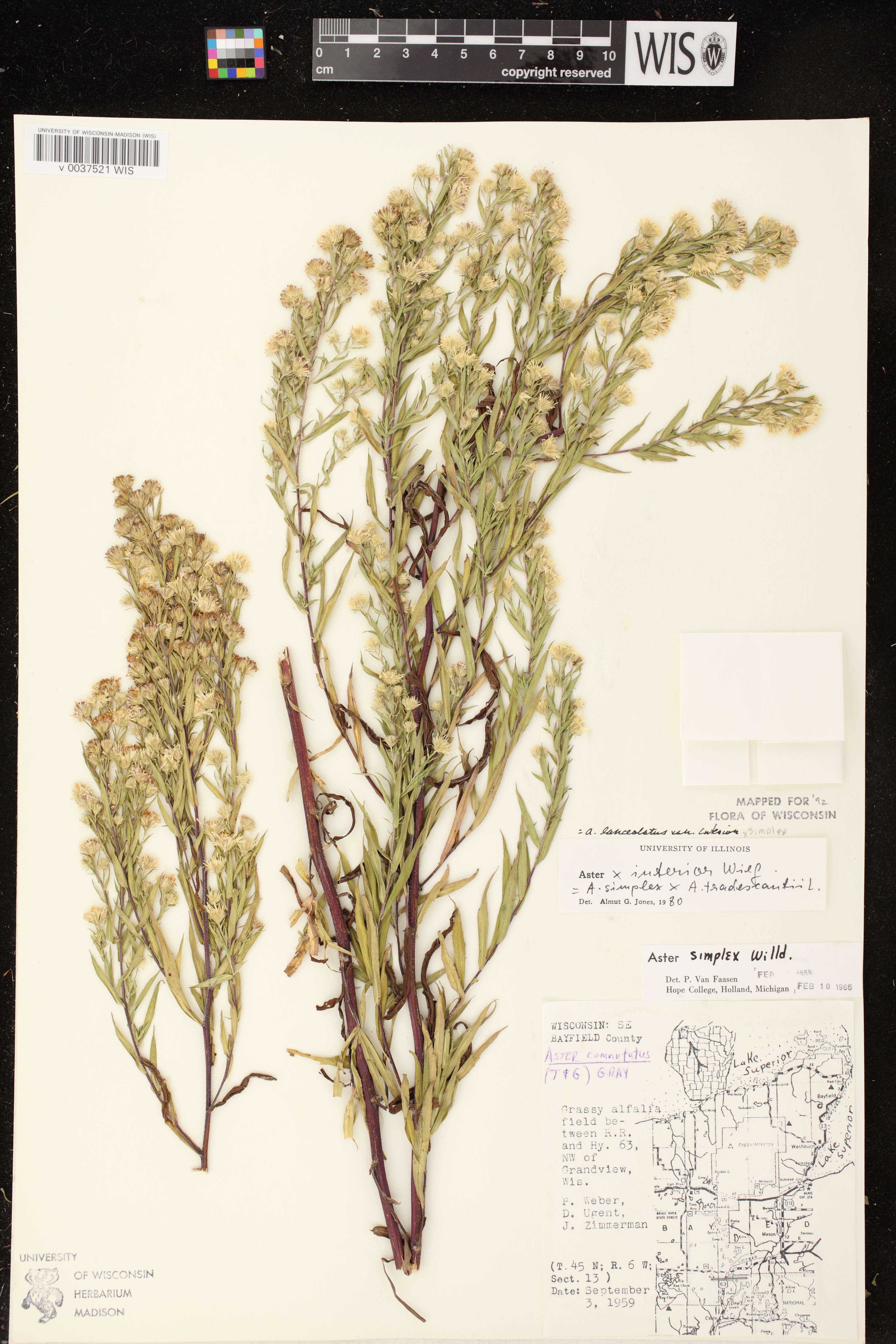 Image of Symphyotrichum lanceolatum var. interior x s. lanceolatum var. lanceolatum
