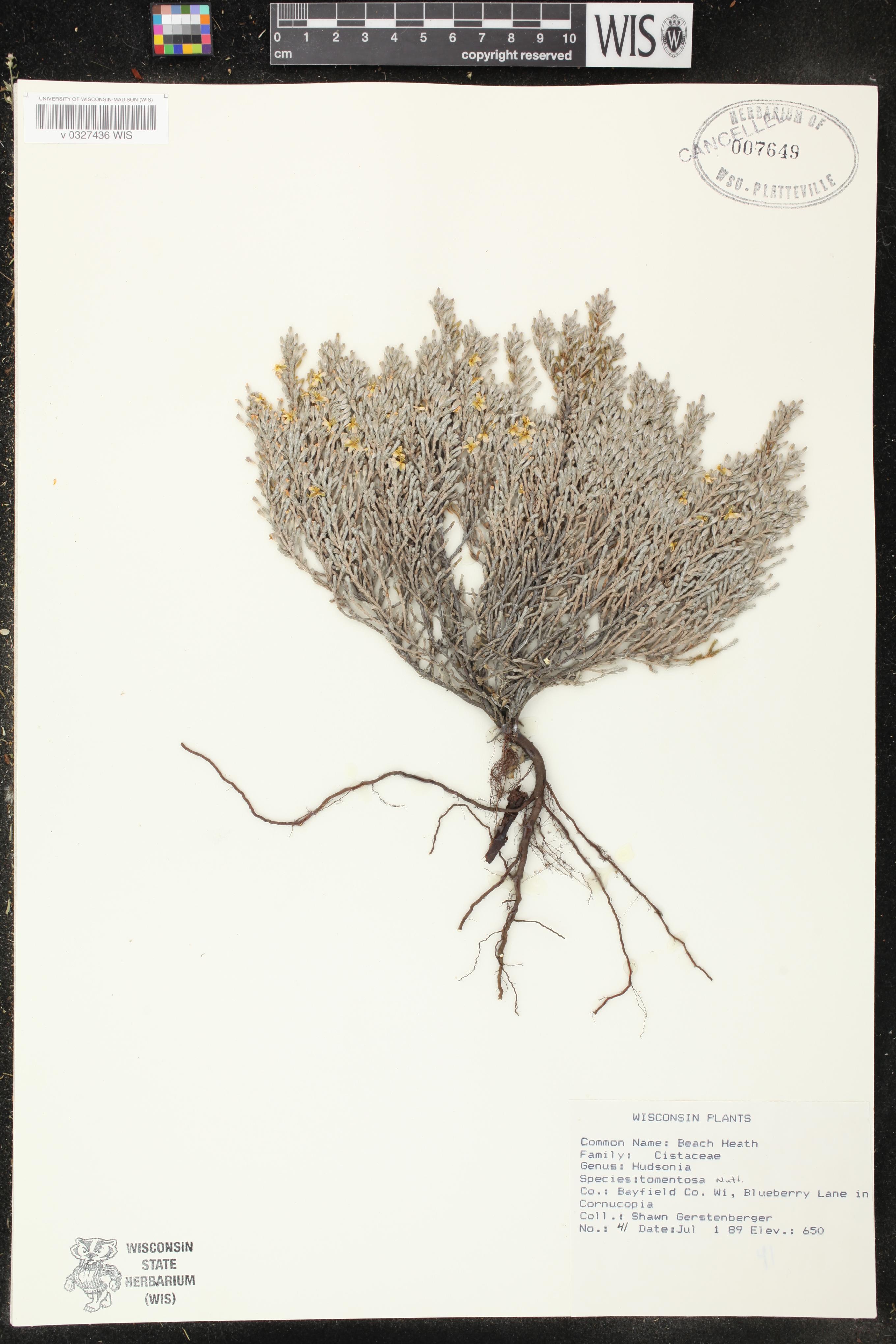 Image of Hudsonia tomentosa