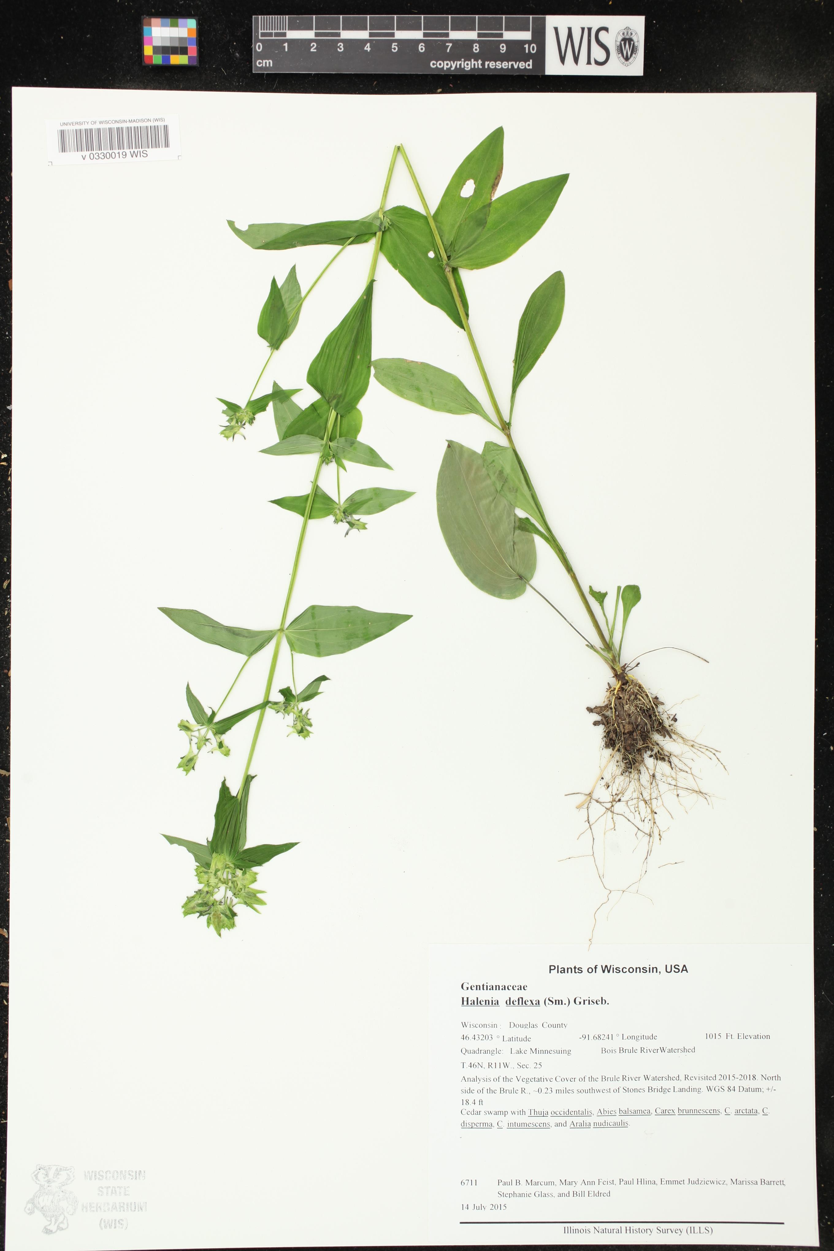 Image of Halenia deflexa