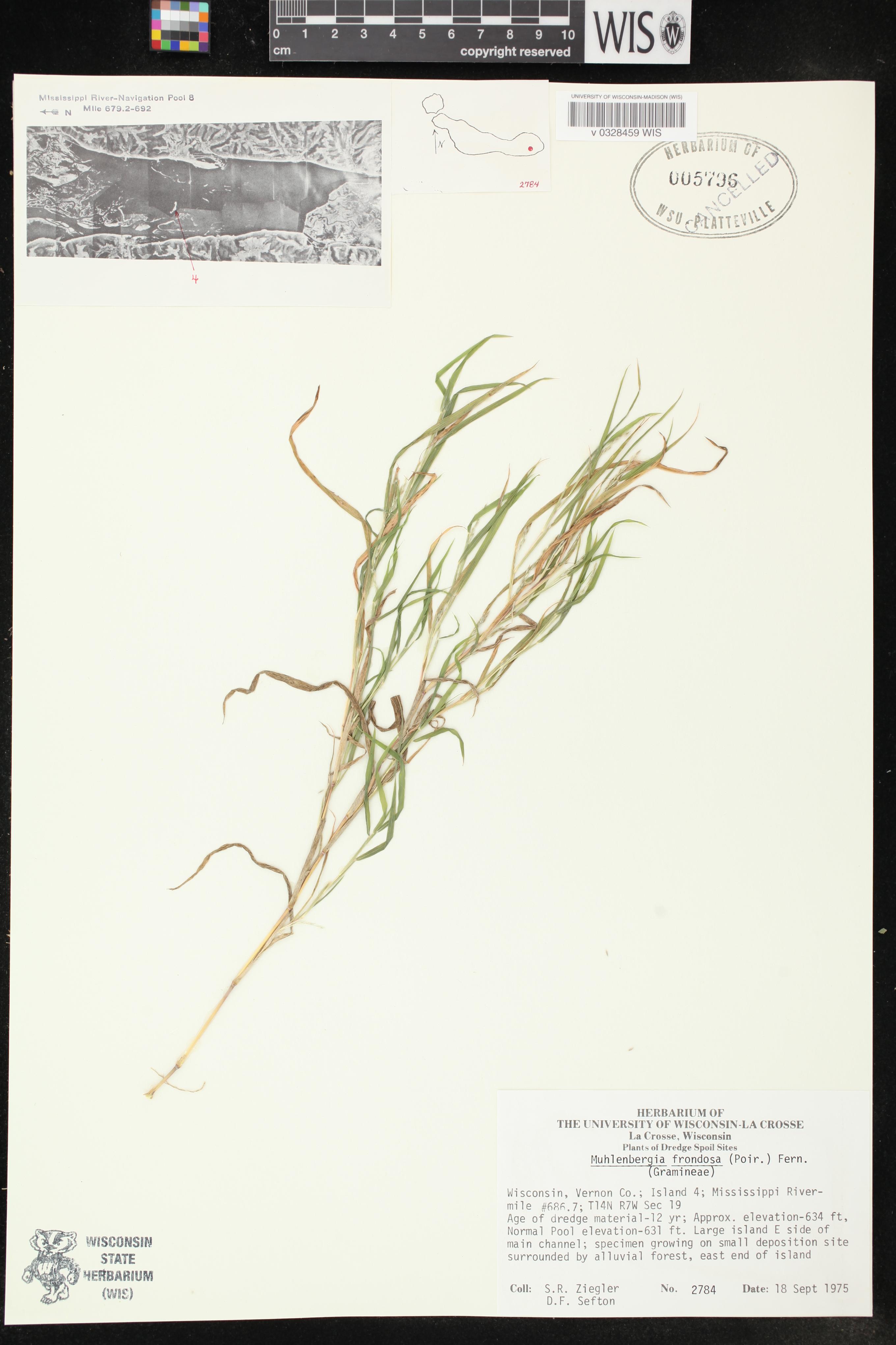 Image of Muhlenbergia frondosa