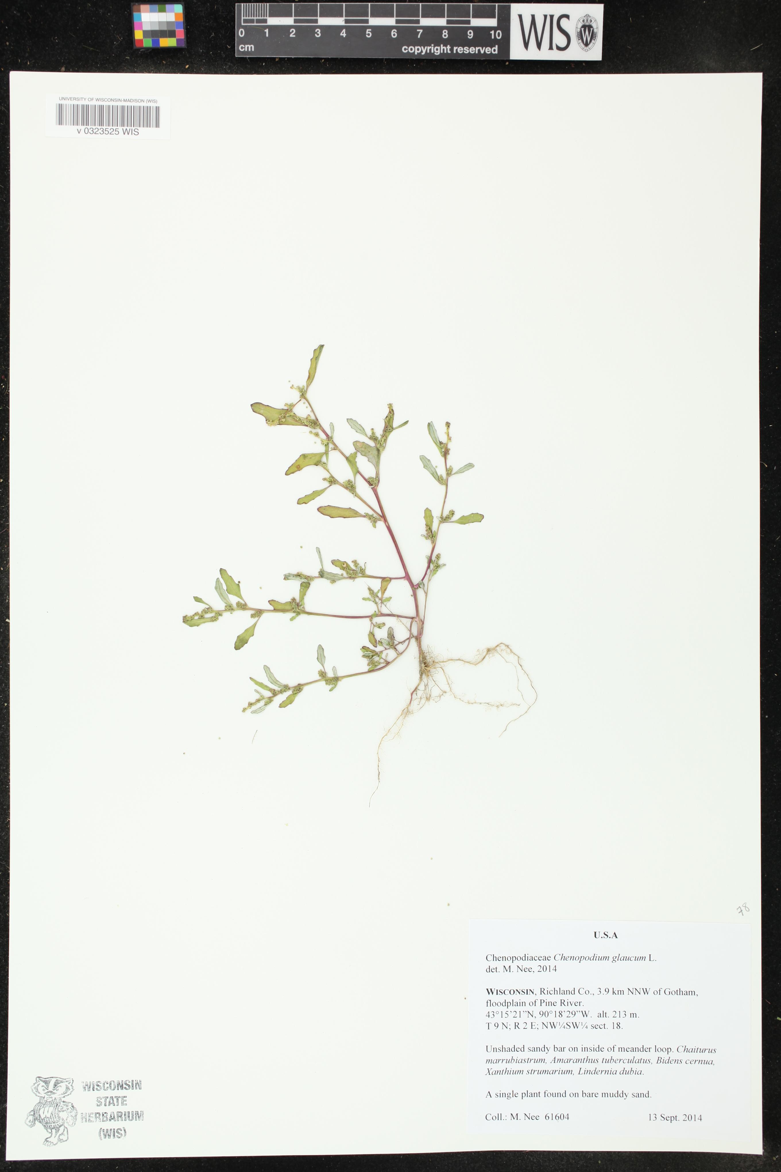 Image of Chenopodium glaucum