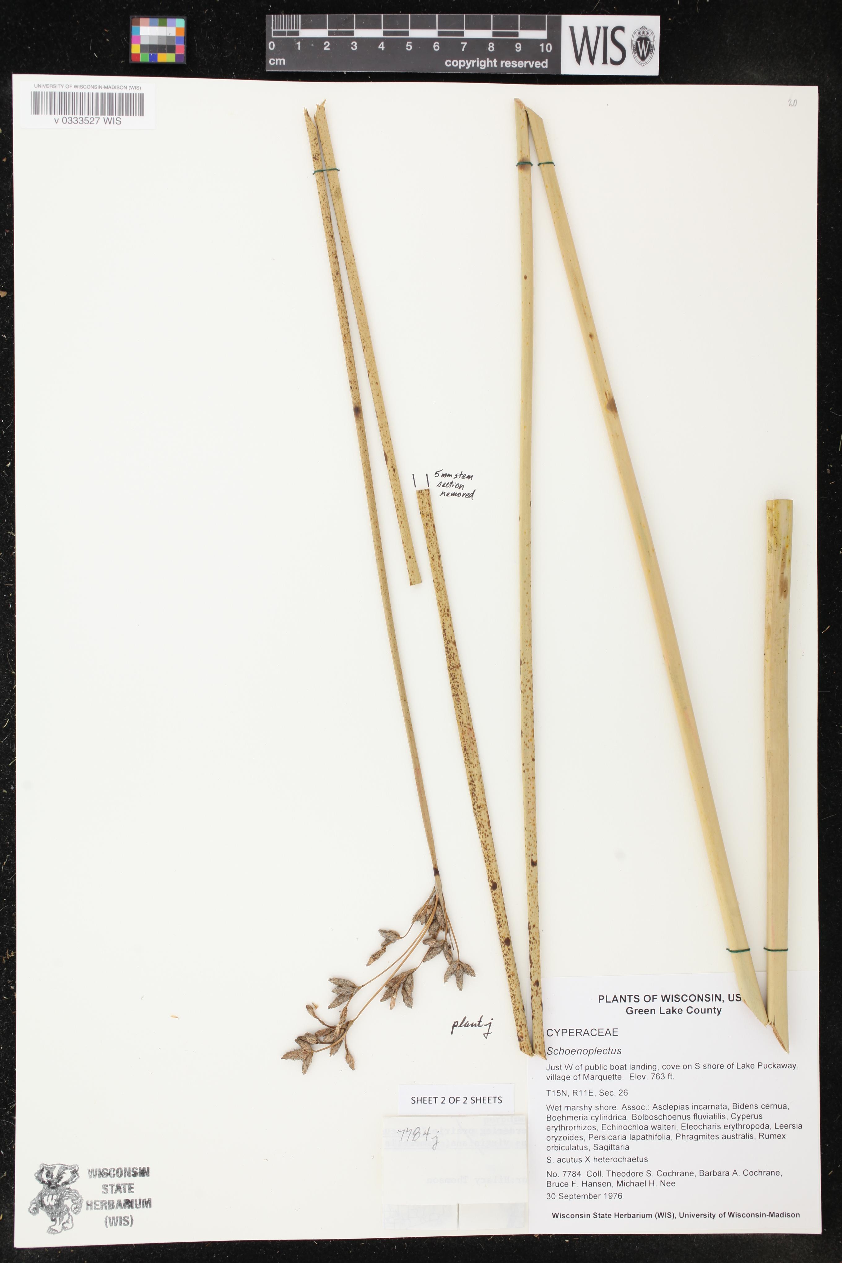 Image of Schoenoplectus acutus x s. heterochaetus