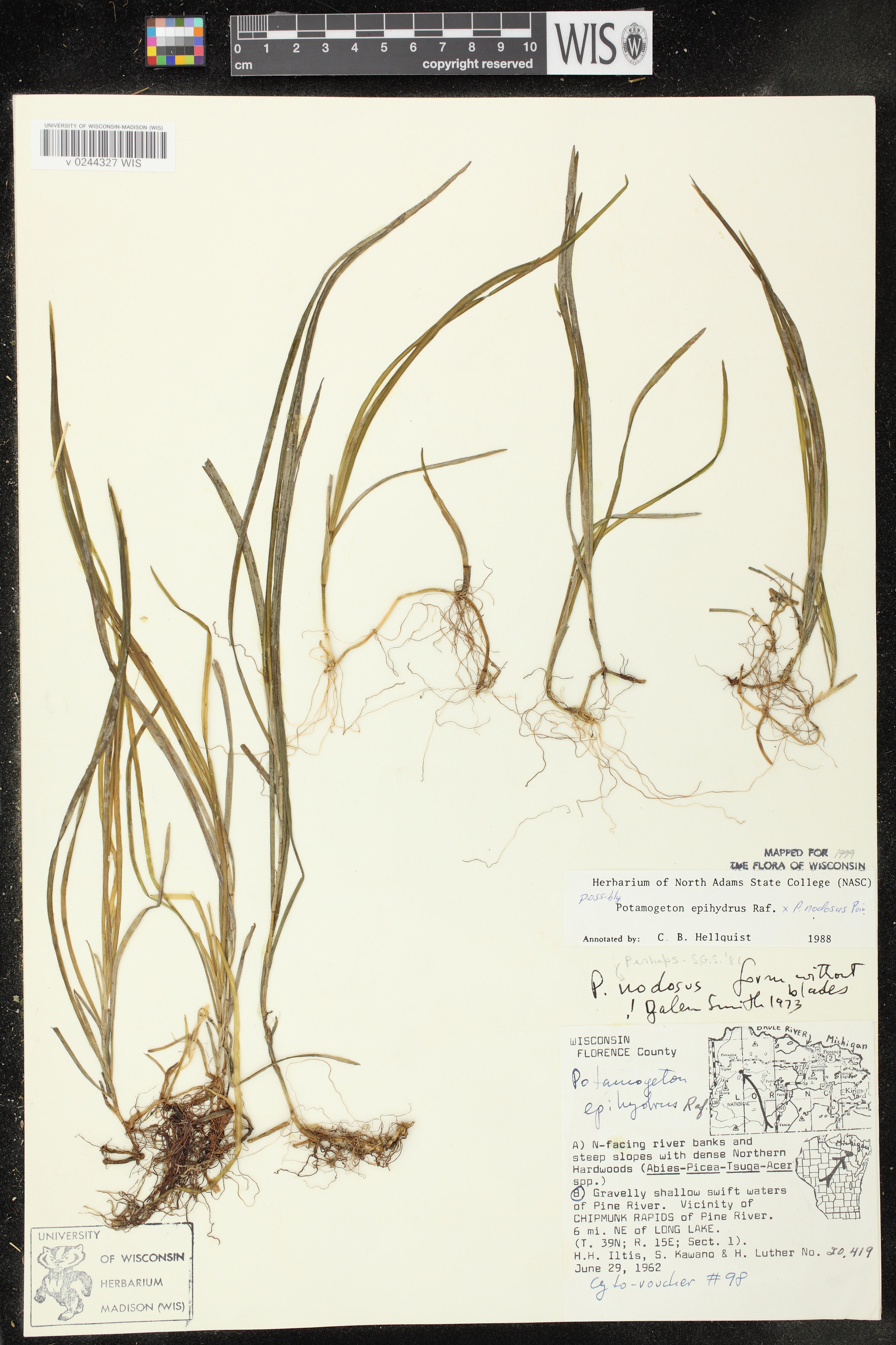 Image of Potamogeton x subsessilis