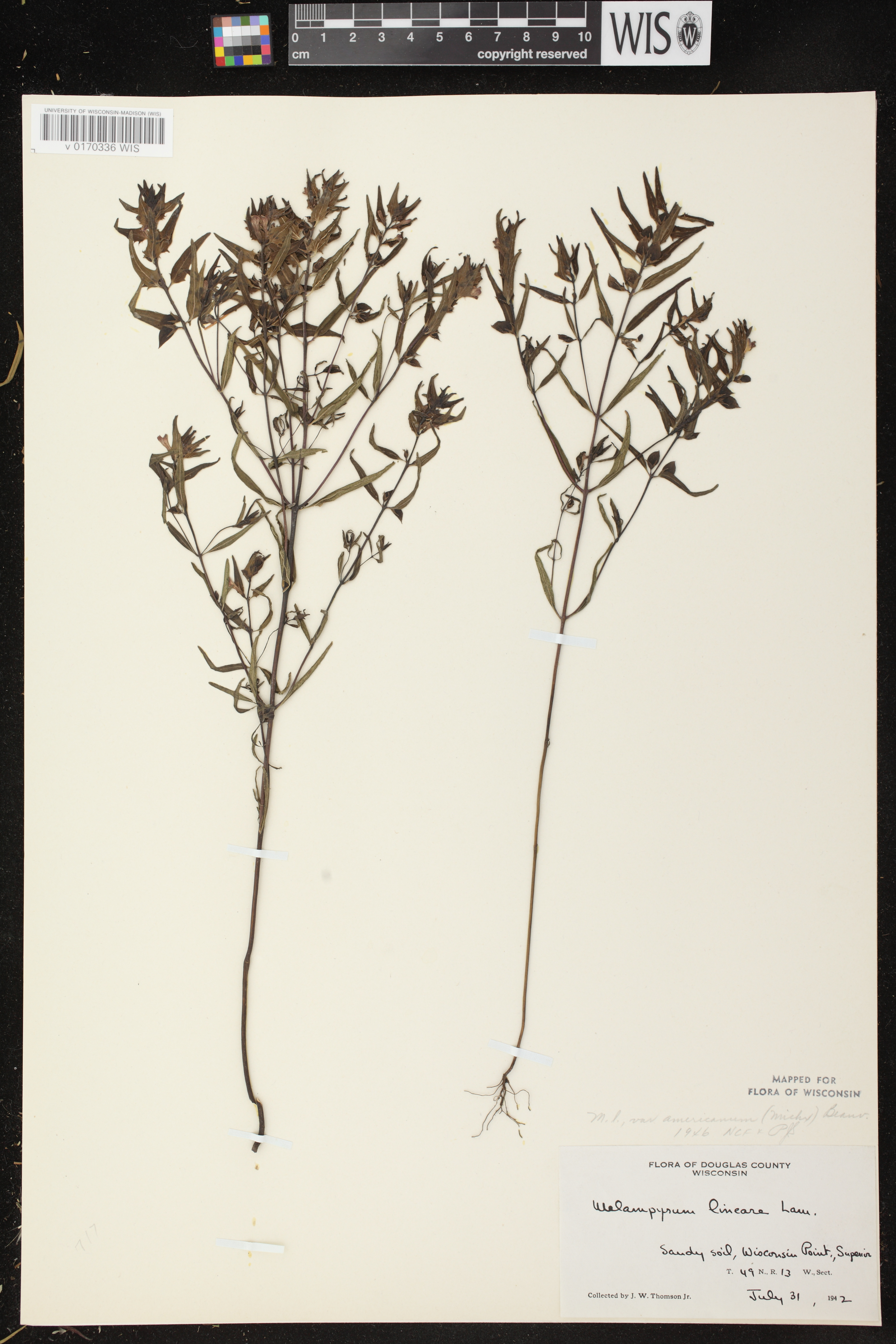 Image of Melampyrum lineare var. americanum