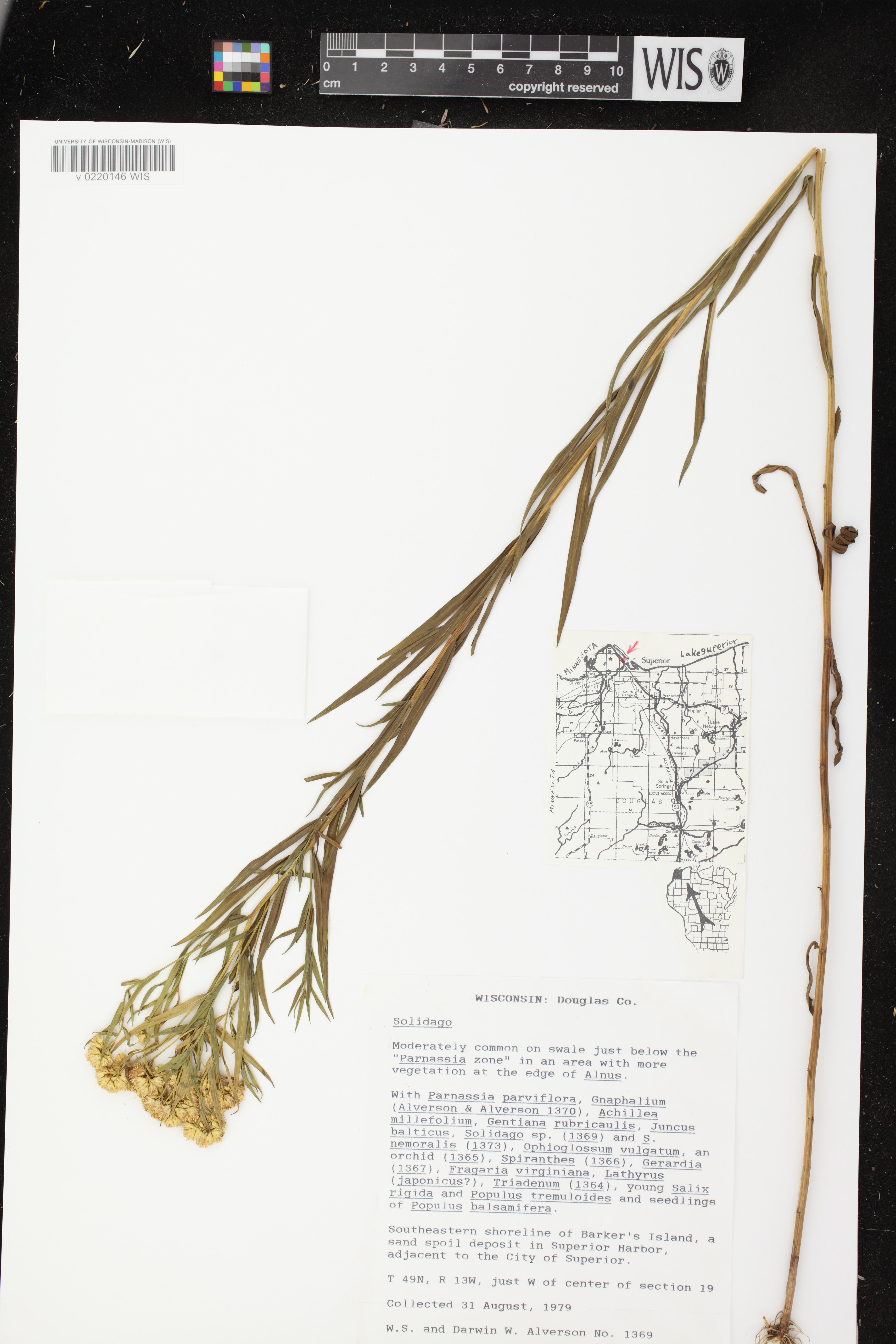Image of Euthamia