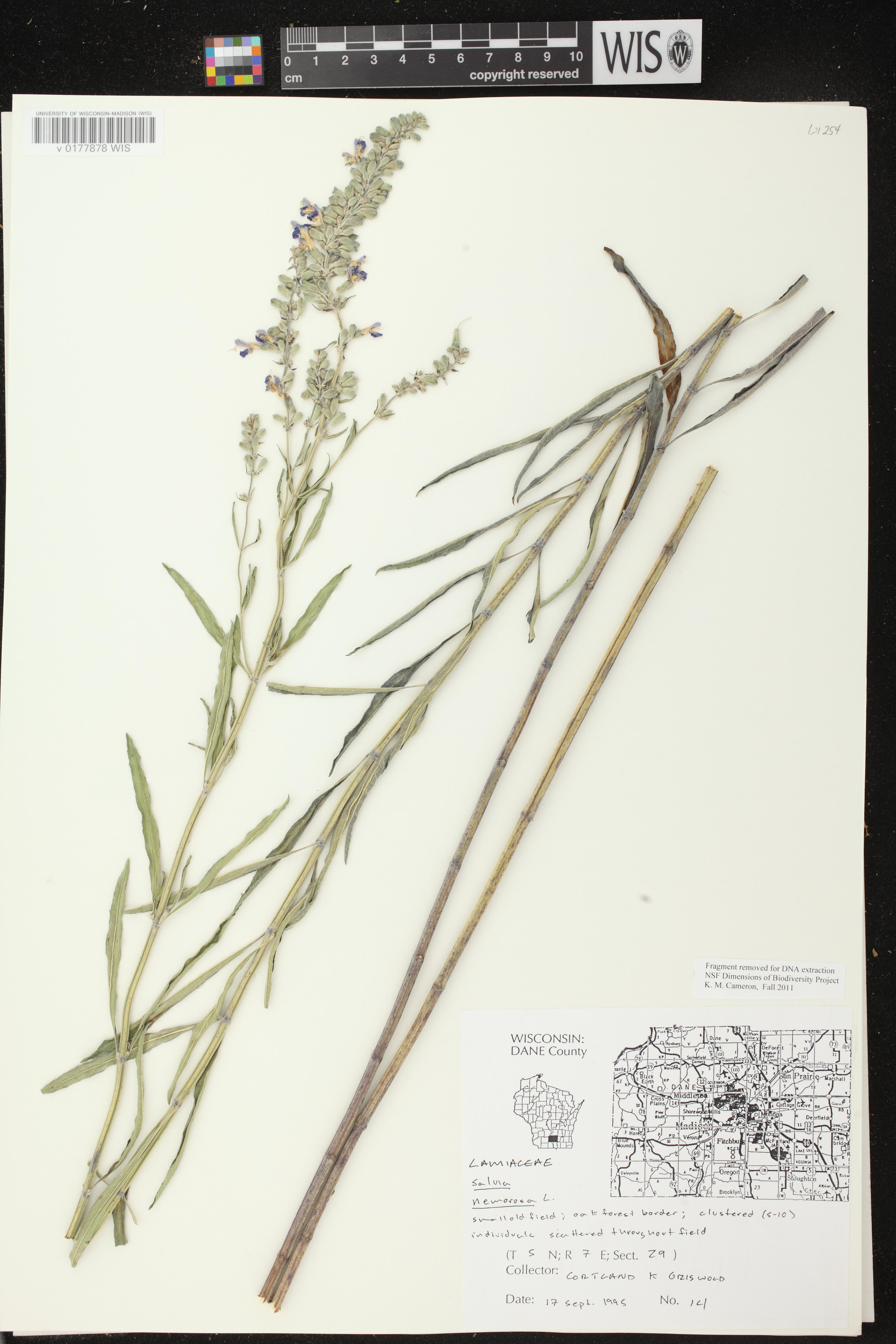 Image of Salvia azurea