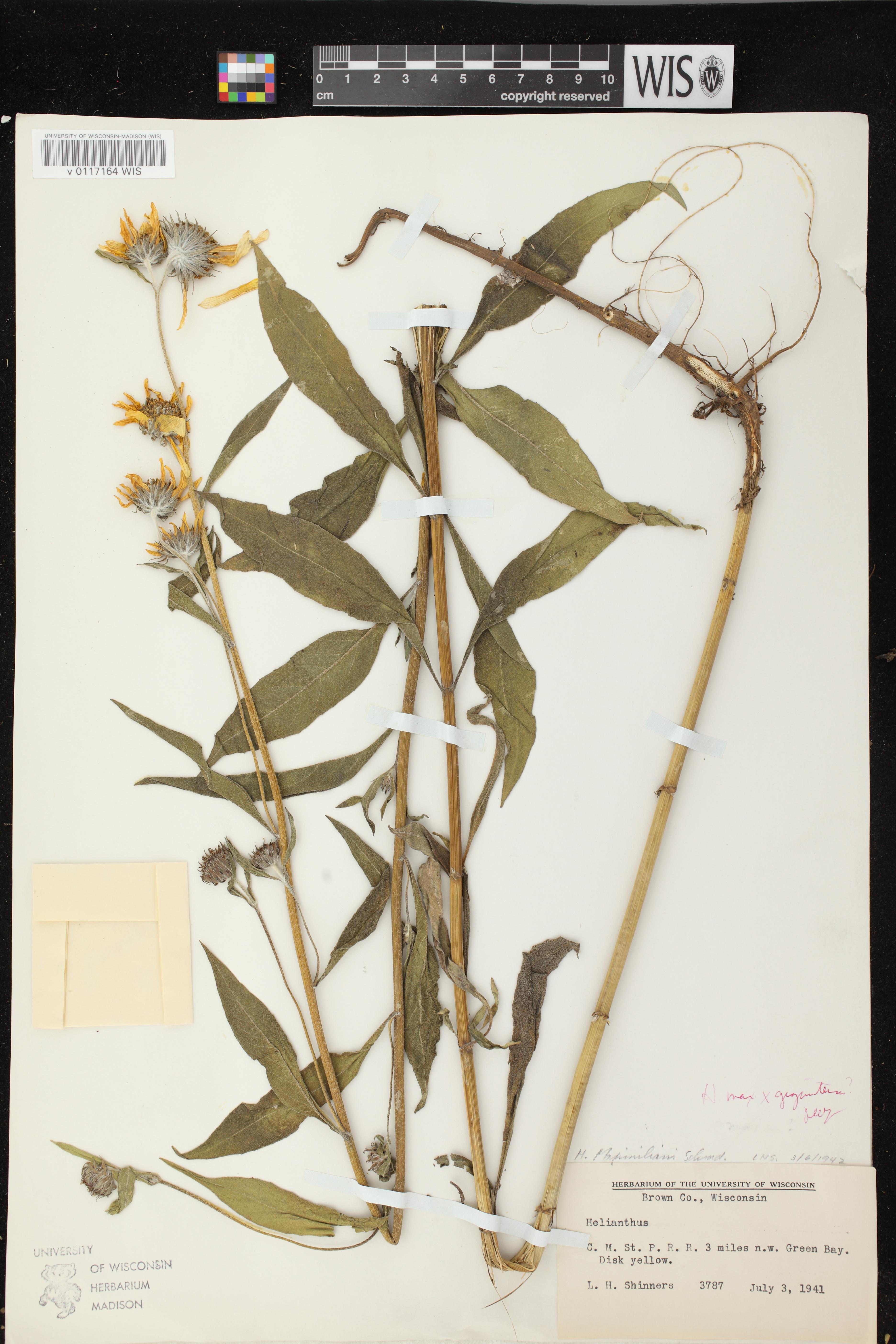 Image of Helianthus giganteus x h. maximilianii
