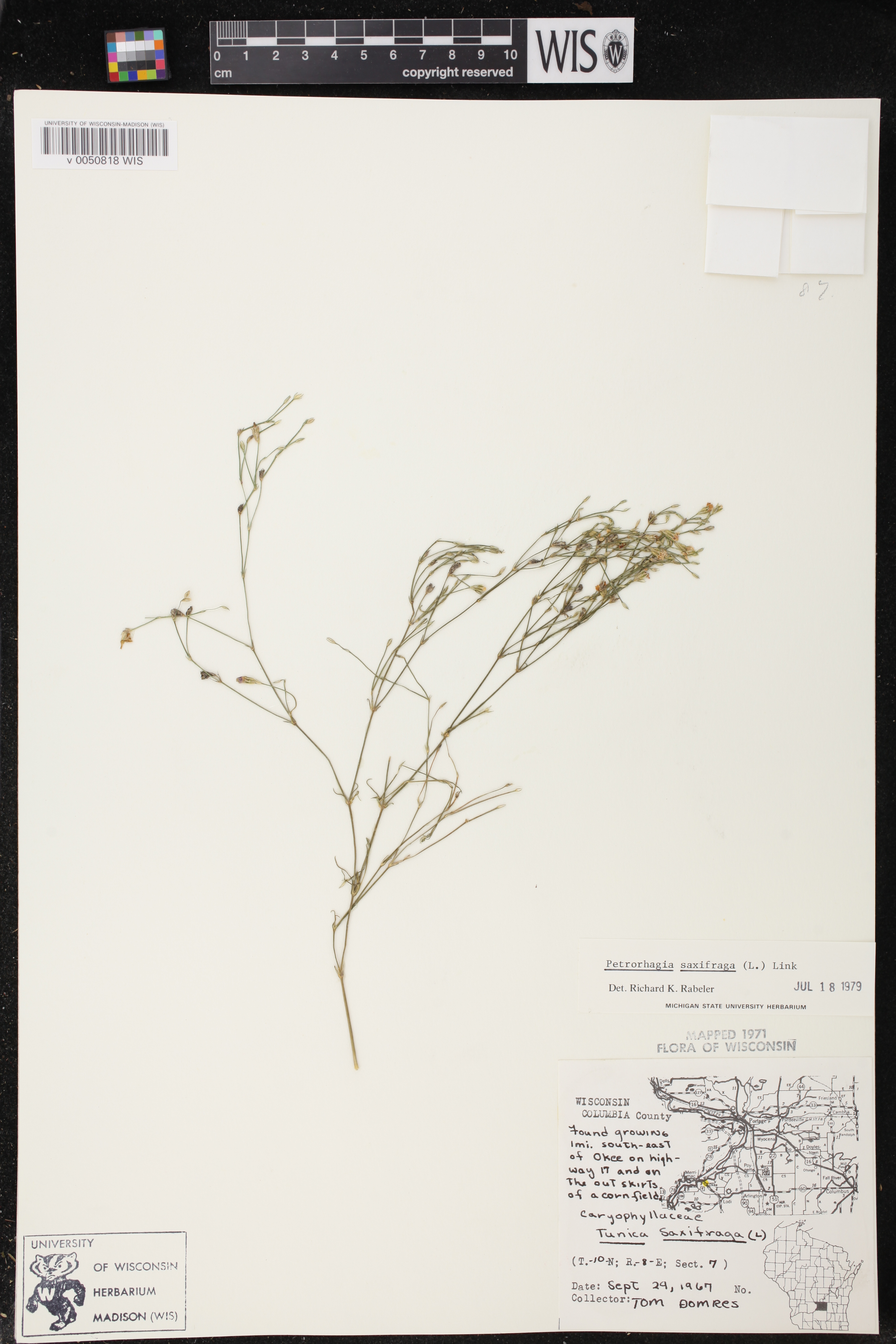 Image of Petrorhagia saxifraga