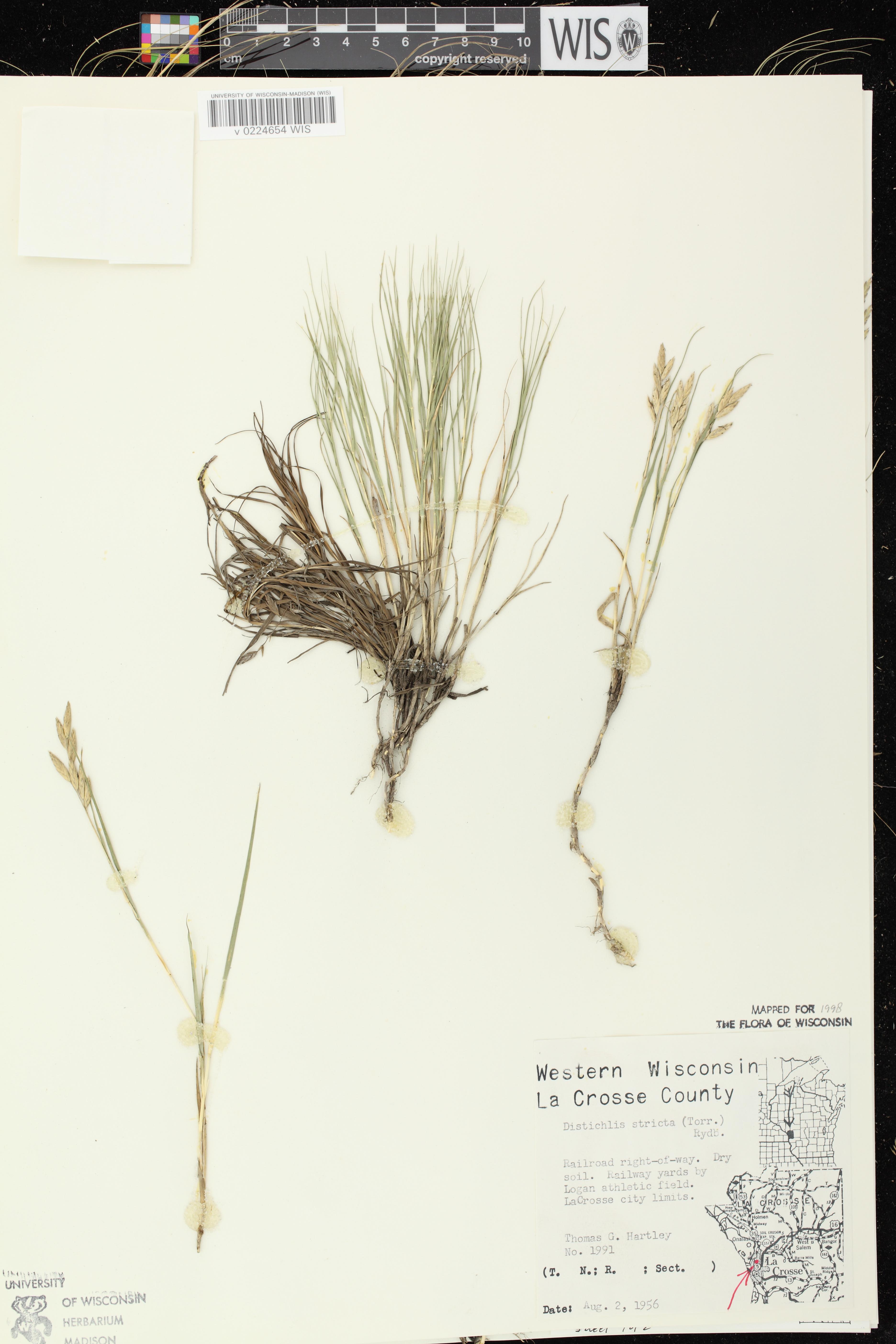 Image of Distichlis spicata
