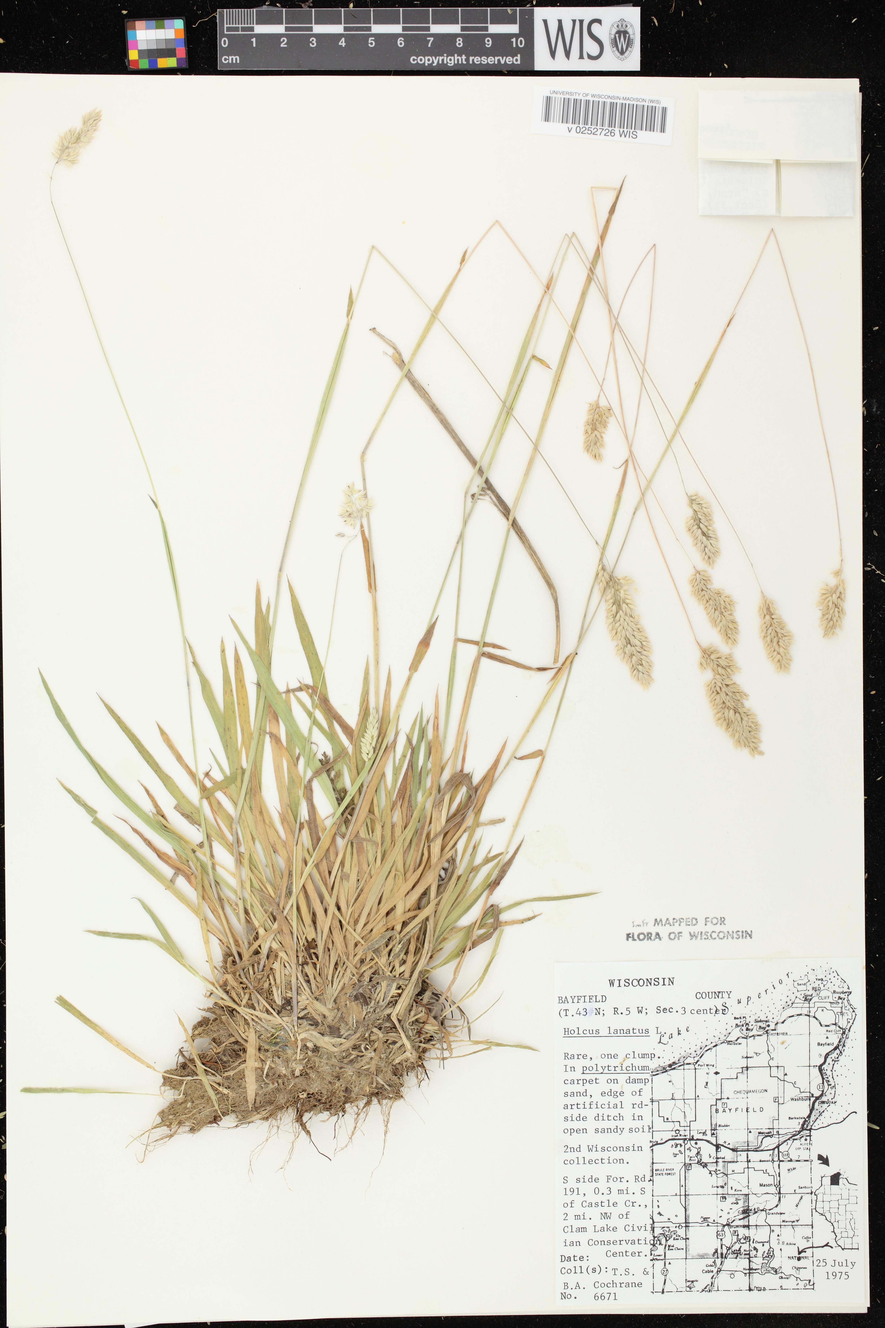Image of Holcus lanatus