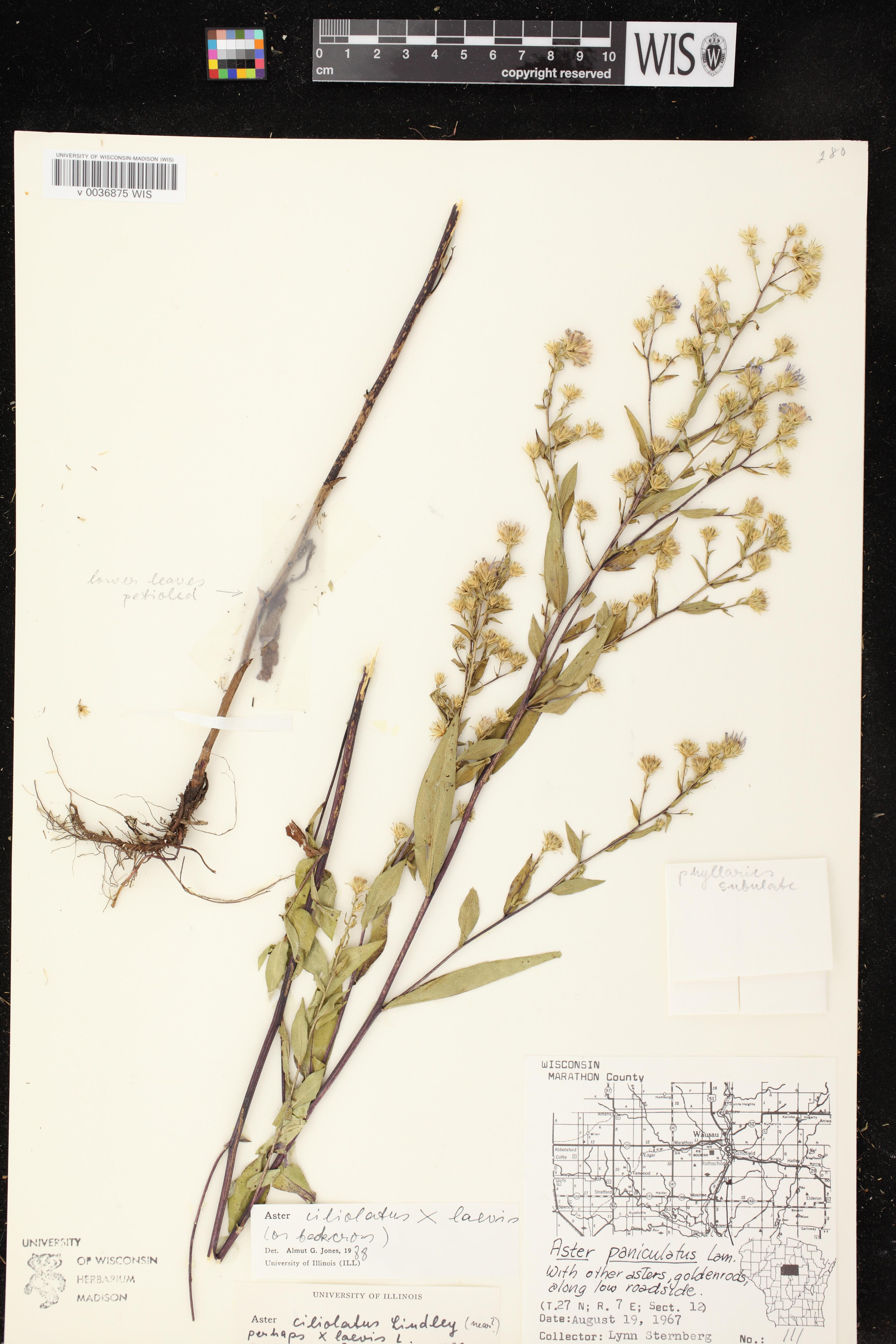 Image of Symphyotrichum ciliolatum x s. laeve