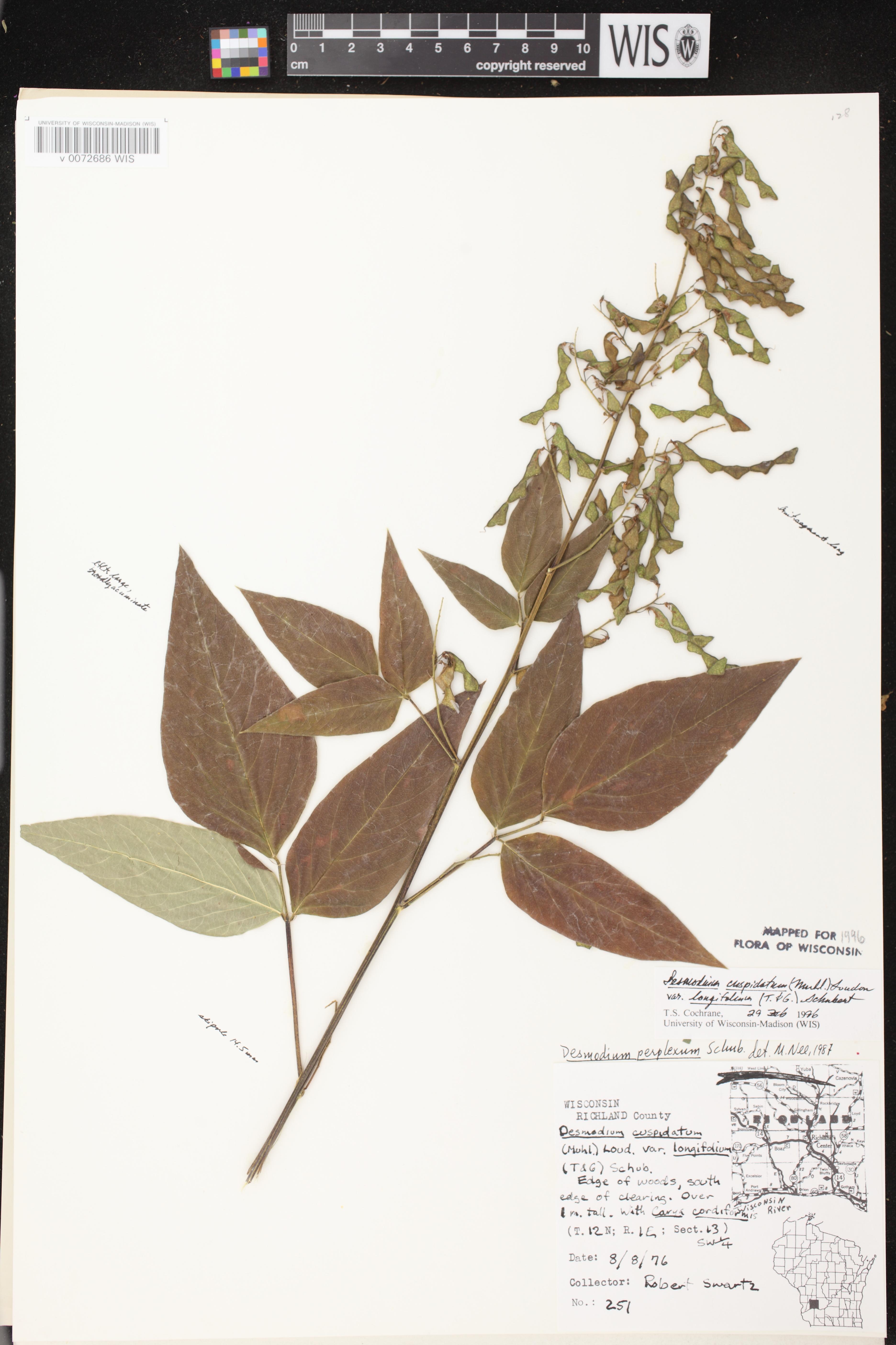 Image of Desmodium cuspidatum var. longifolium