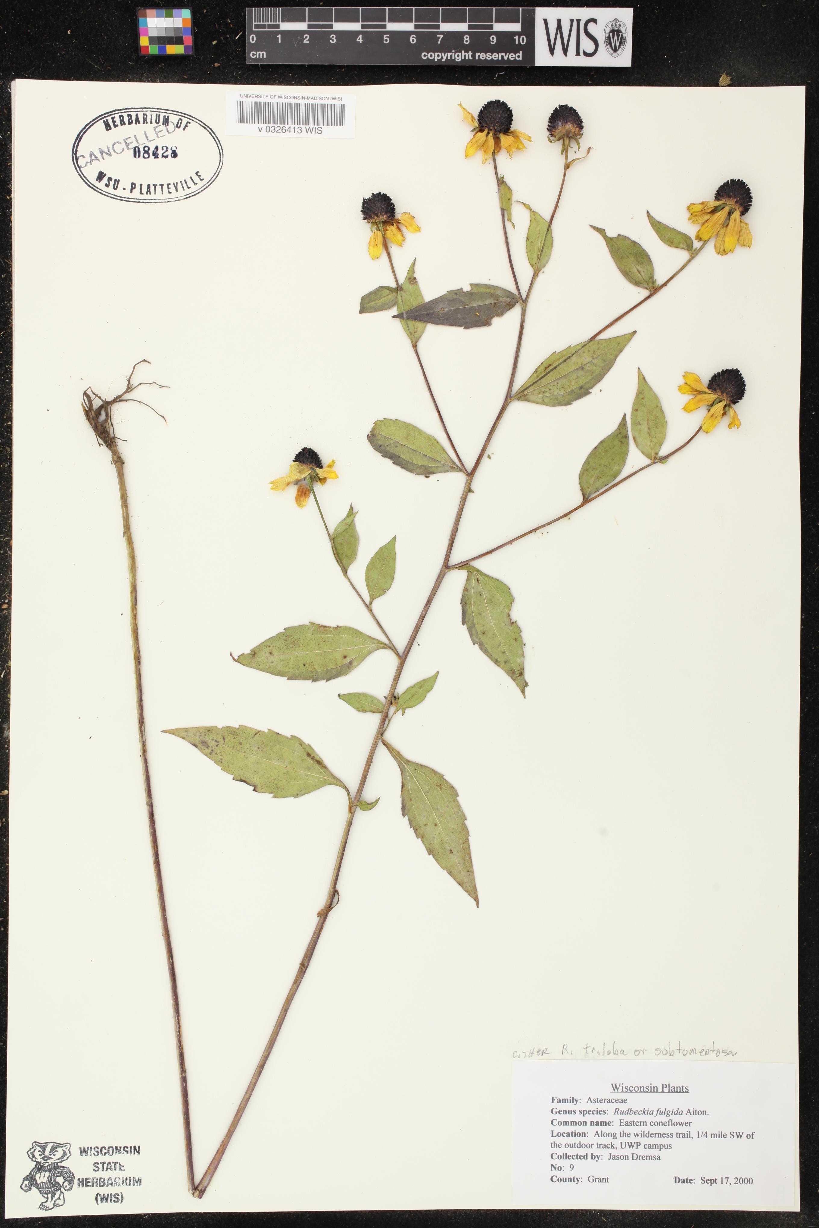 Image of Rudbeckia