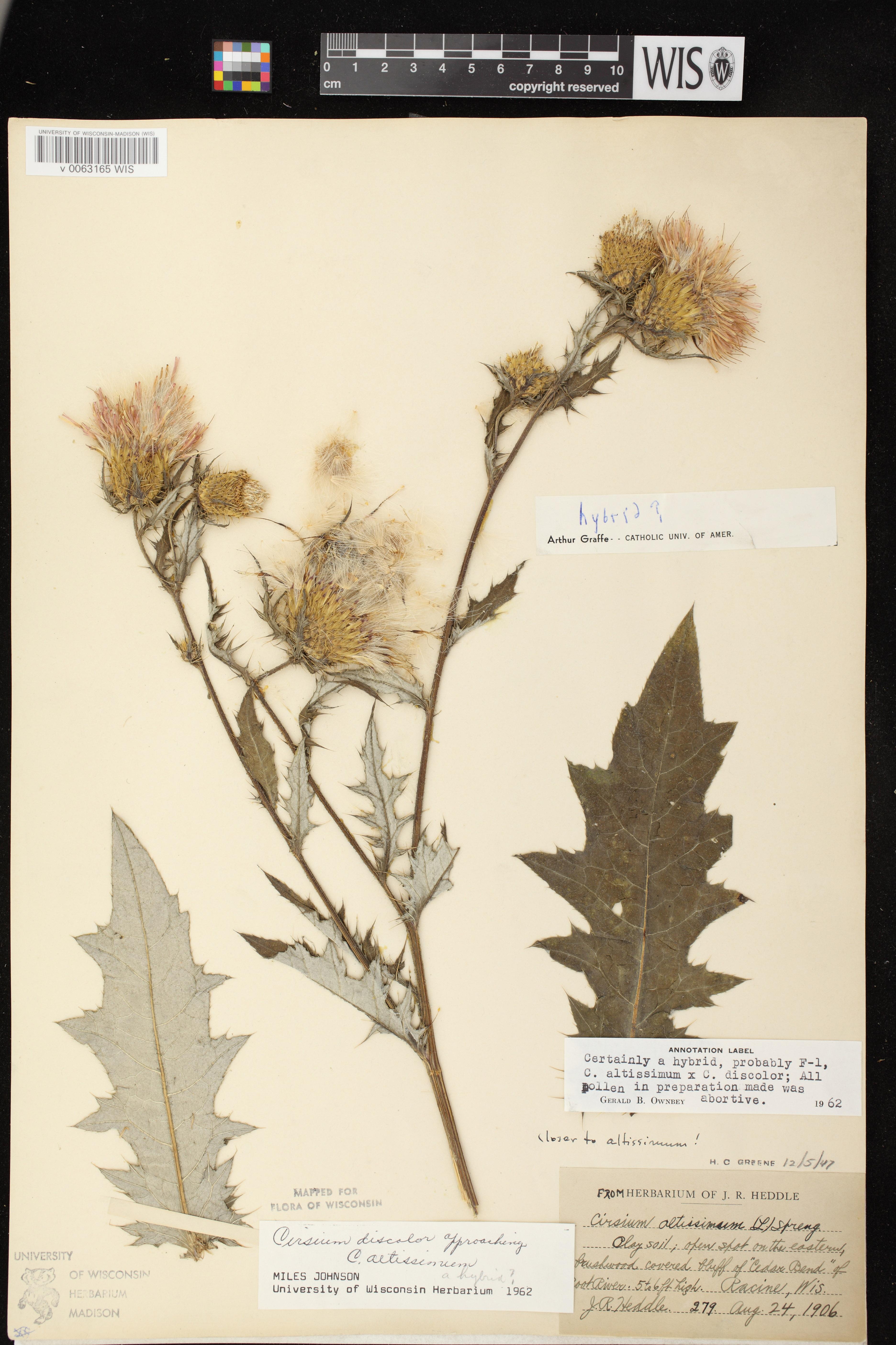 Image of Cirsium altissimum x c. discolor