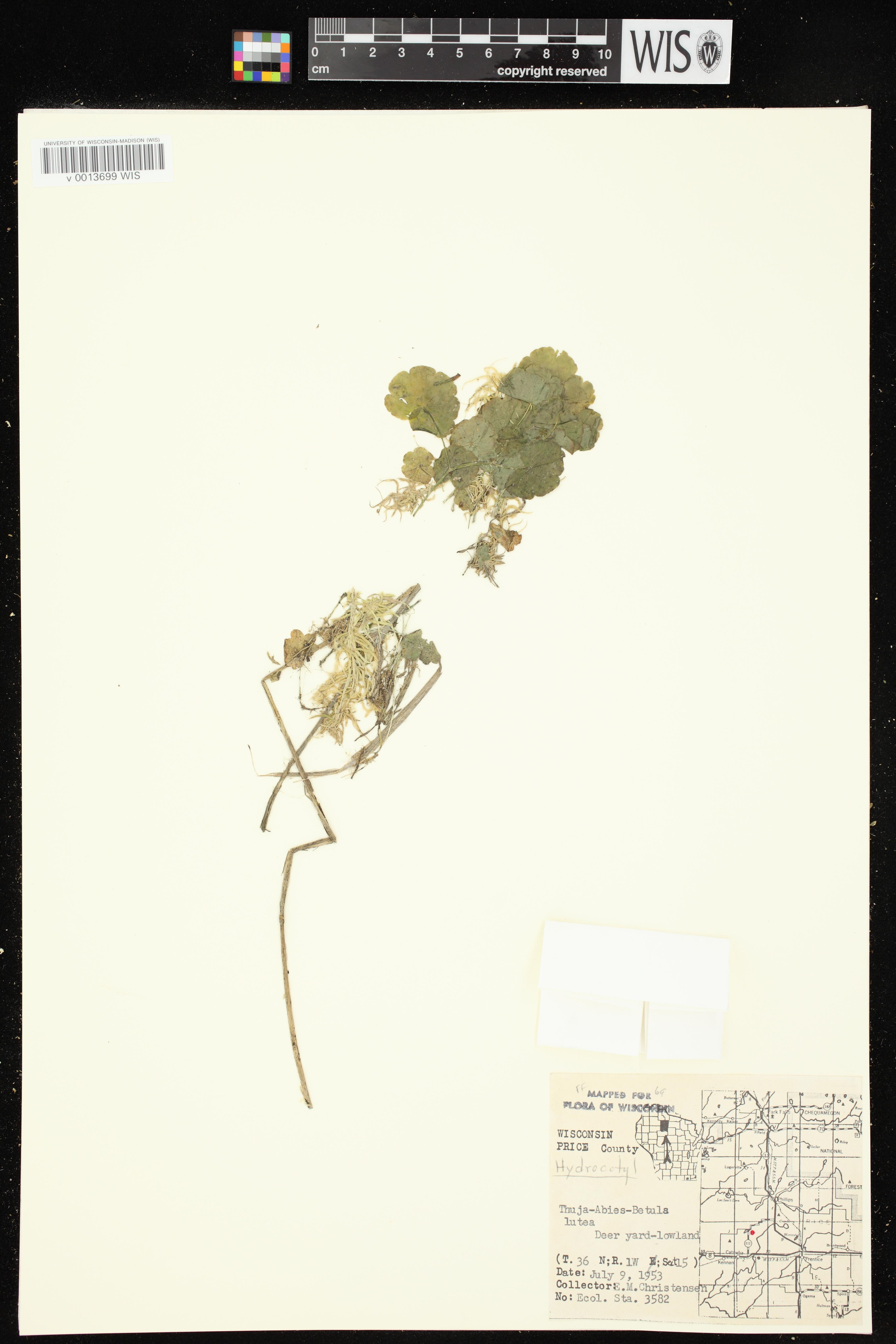 Image of Hydrocotyle