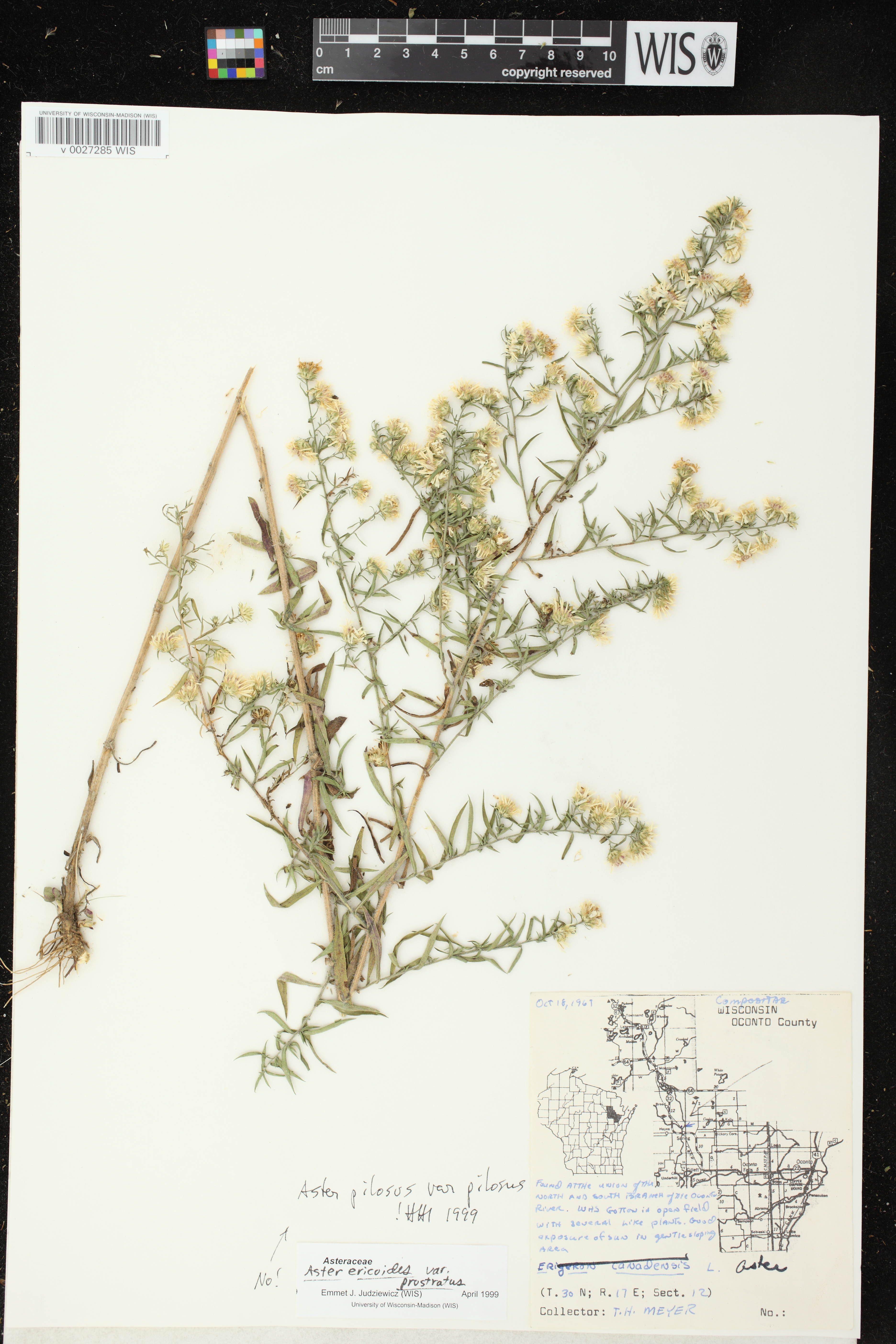 Image of Symphyotrichum pilosum var. pilosum