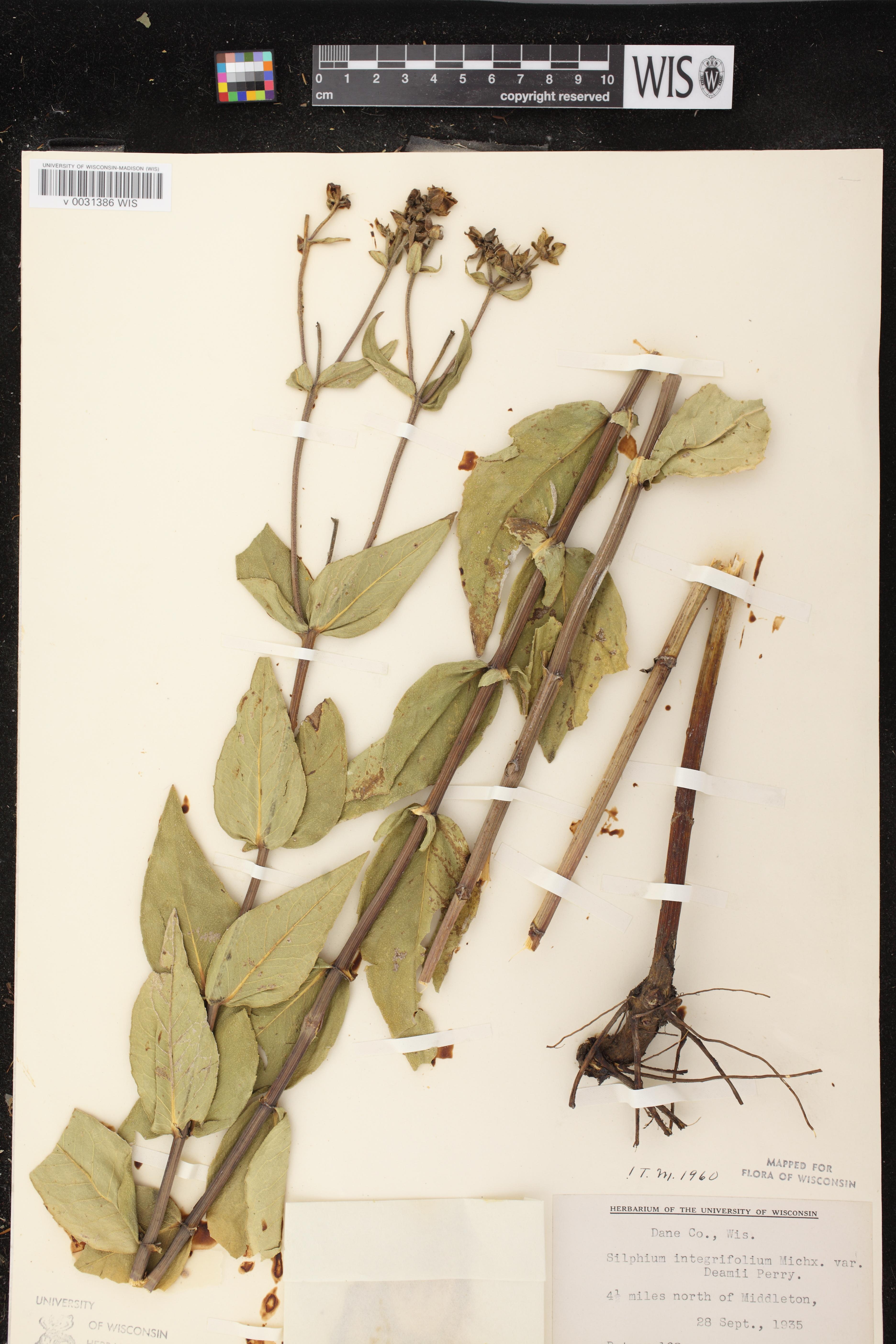 Image of Silphium integrifolium x s. perfoliatum