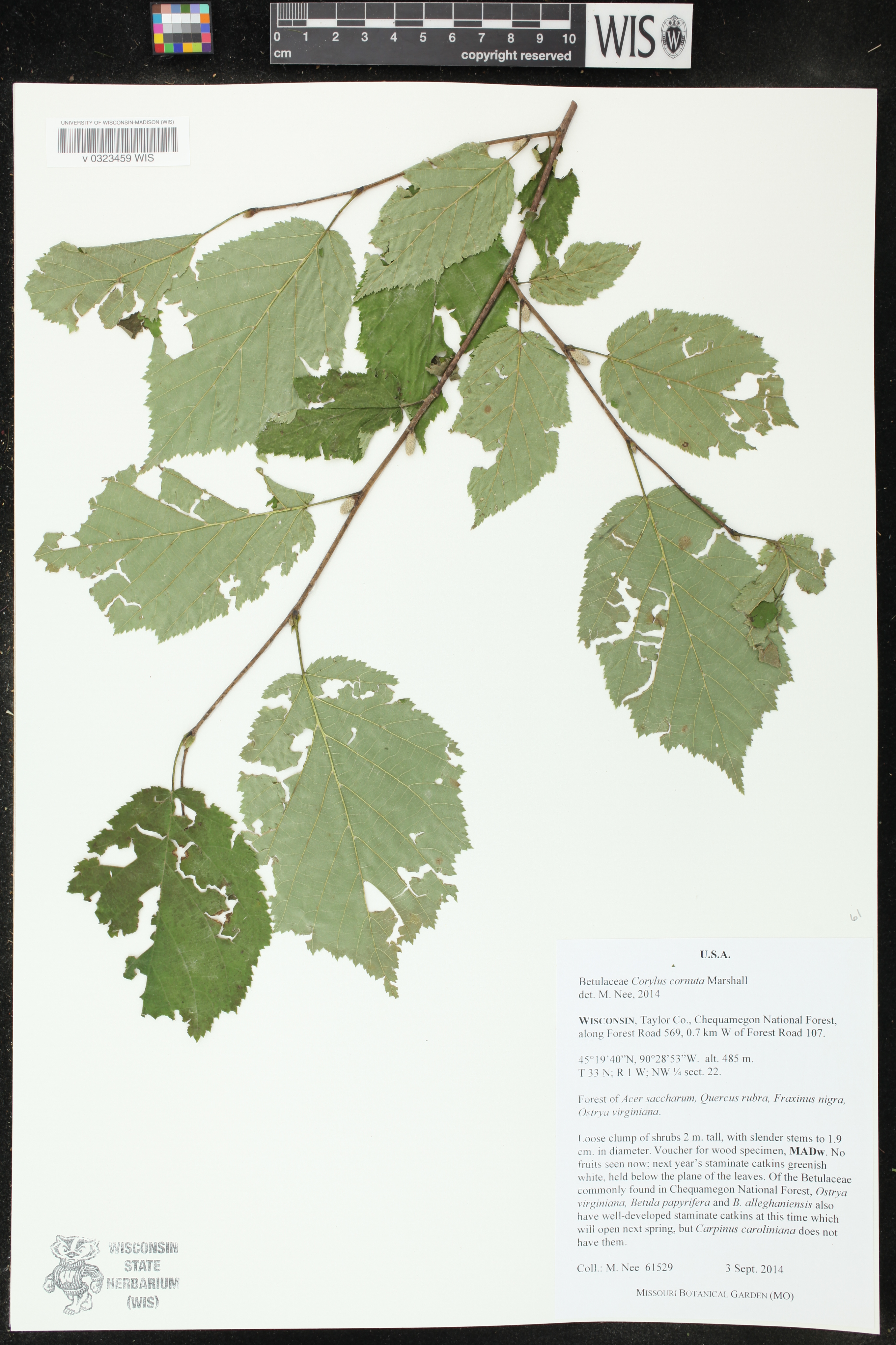 Image of Corylus cornuta