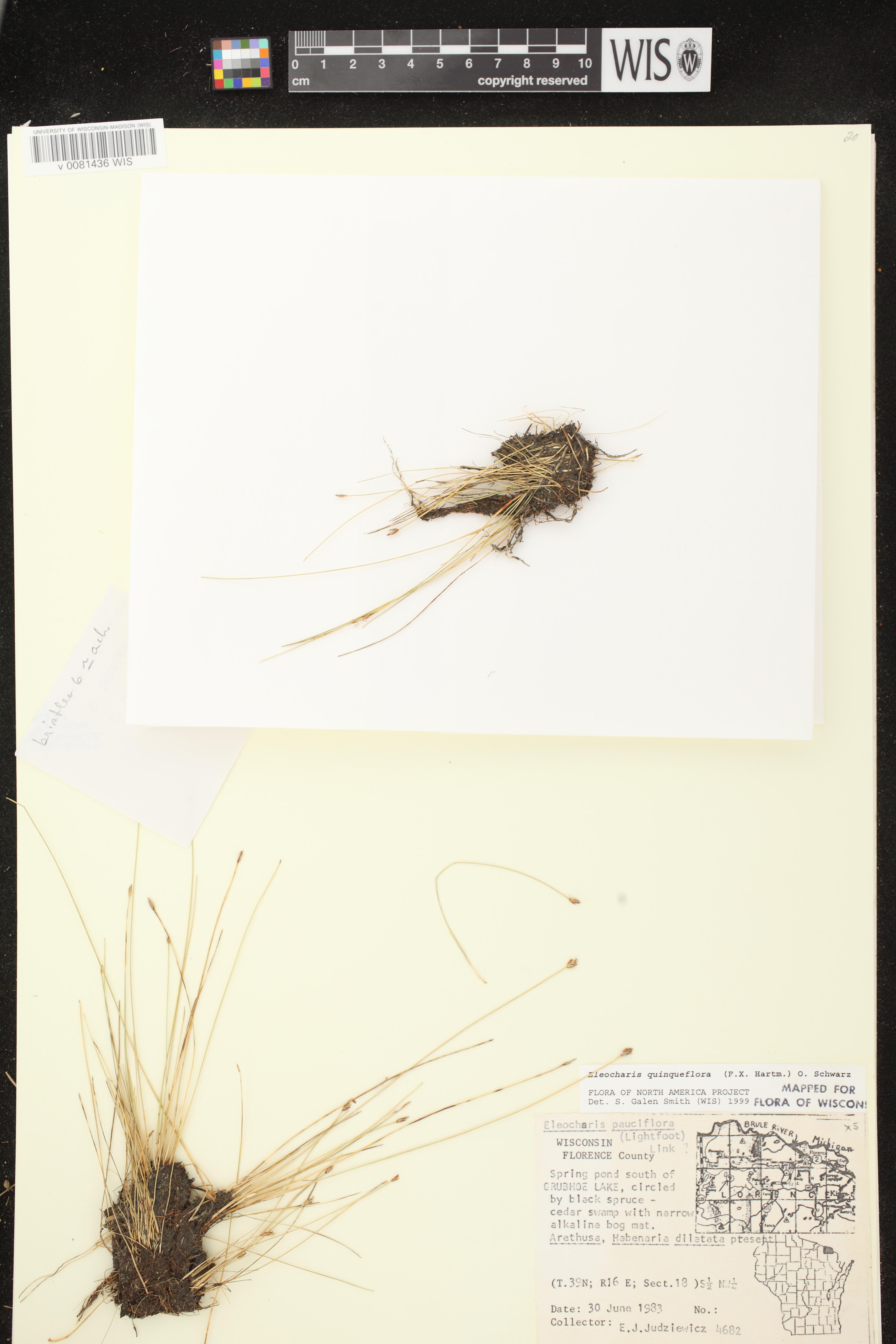Image of Eleocharis quinqueflora