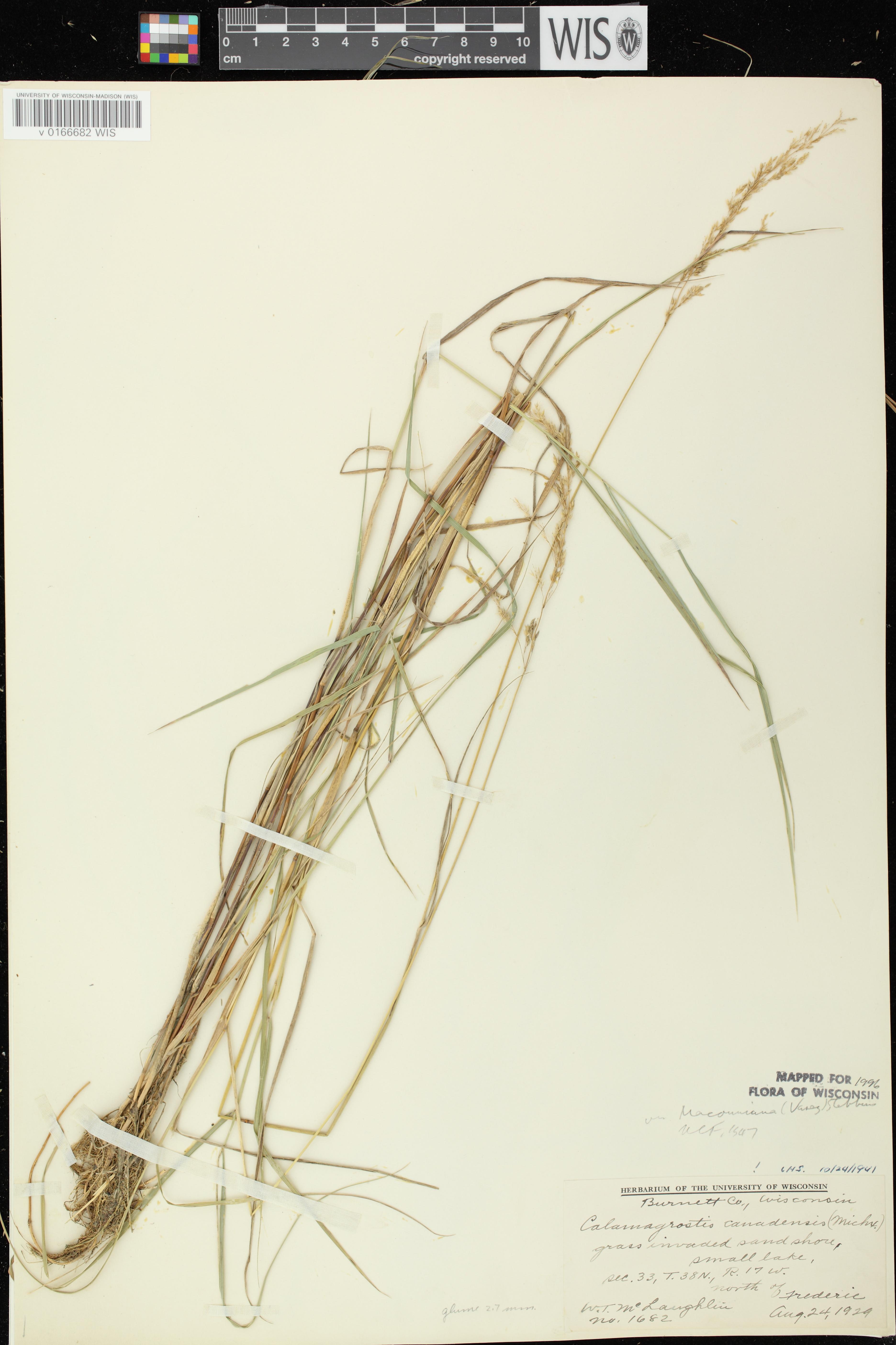 Image of Calamagrostis canadensis var. macouniana