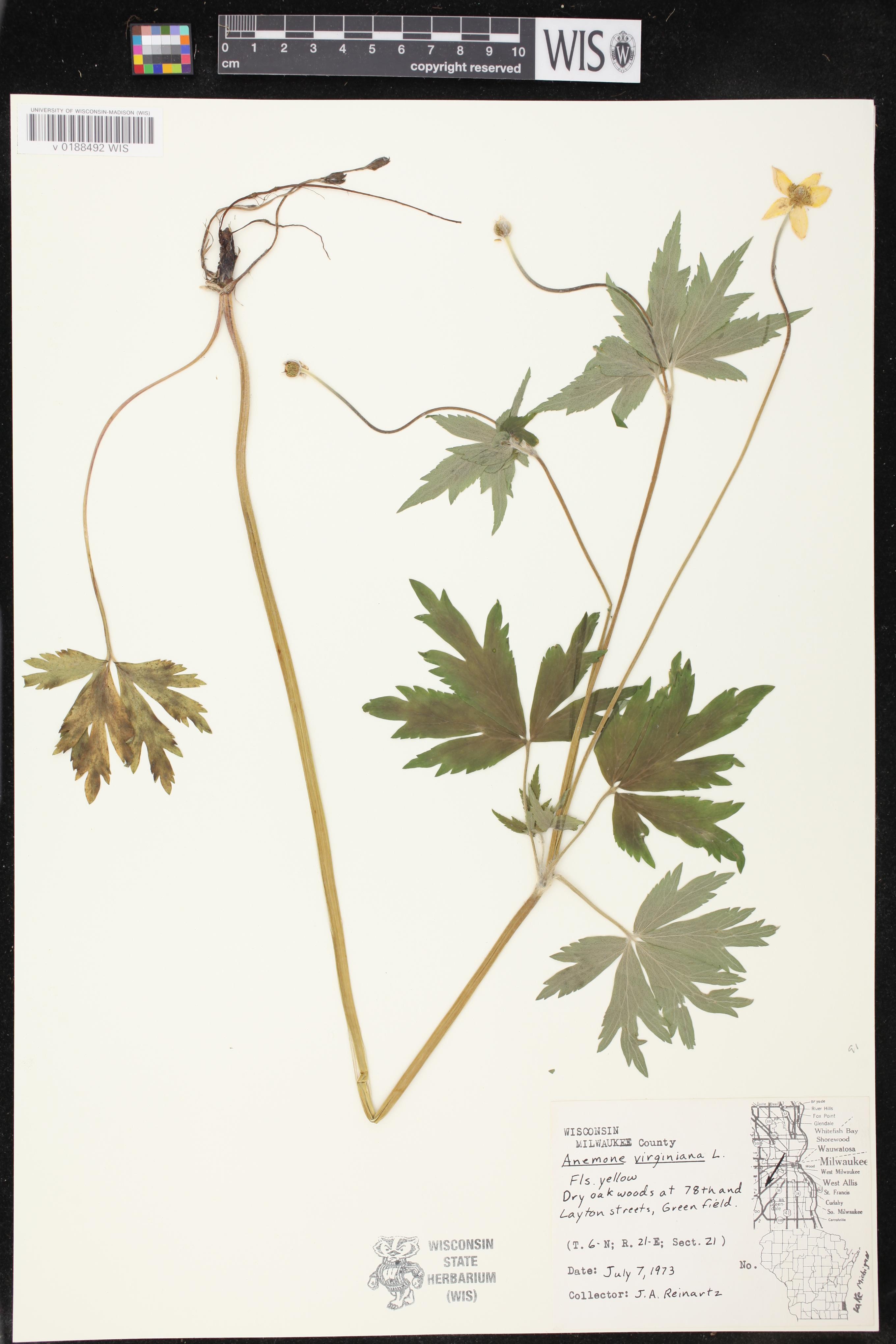 Image of Anemone virginiana var. virginiana