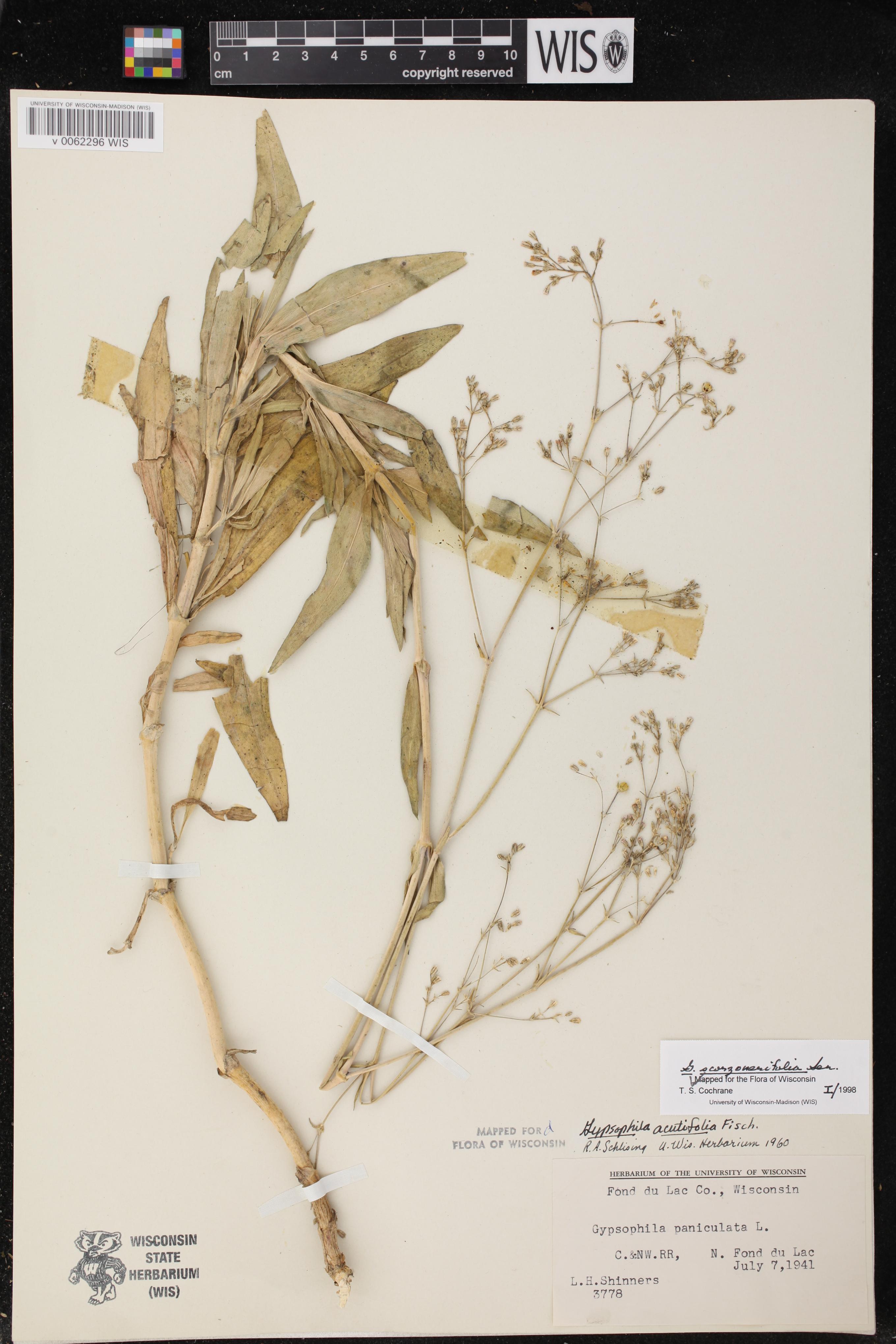 Image of Gypsophila scorzonerifolia