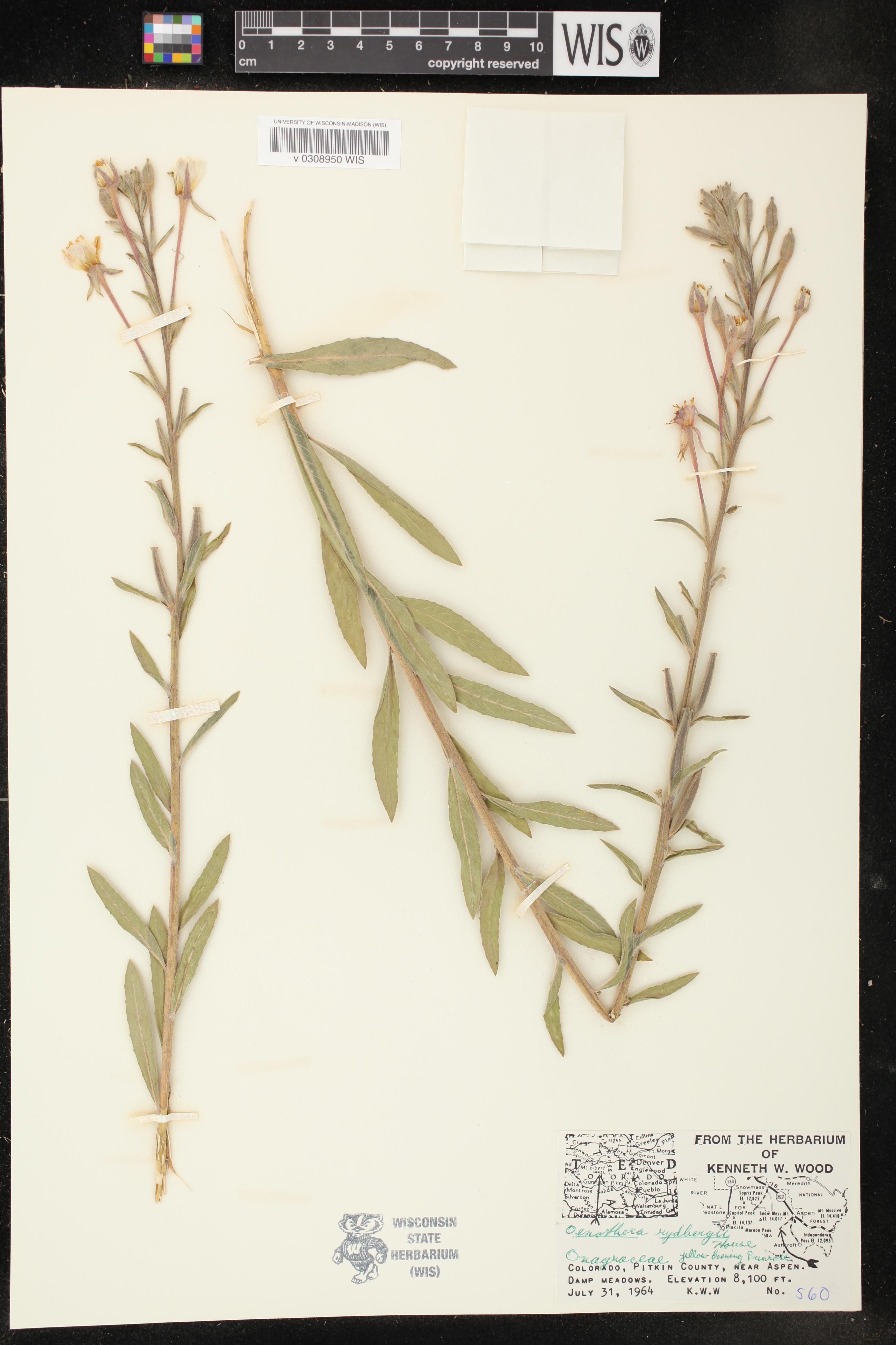 Image of Oenothera villosa subsp. strigosa