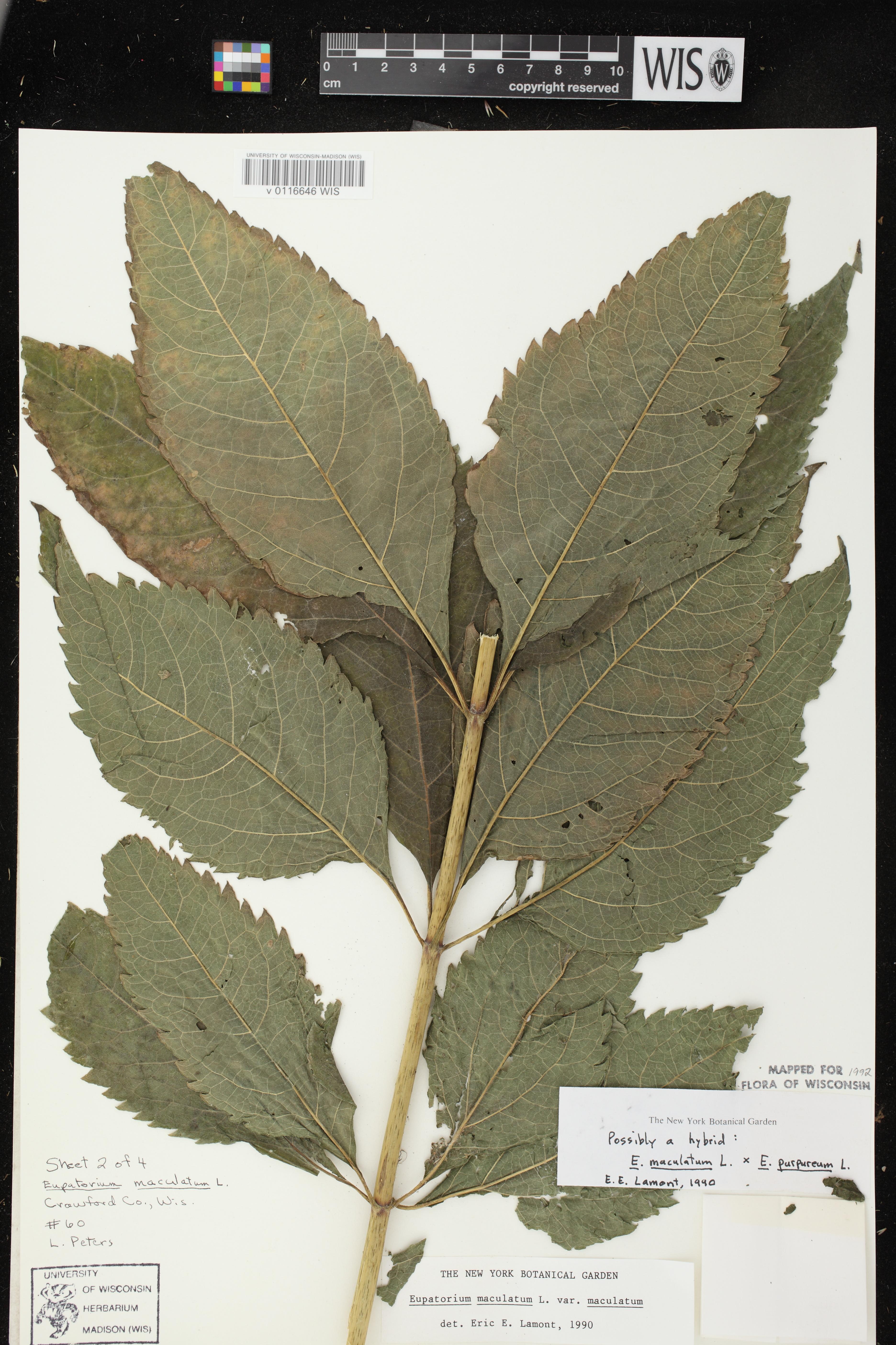 Image of Eutrochium maculatum x e. purpureum