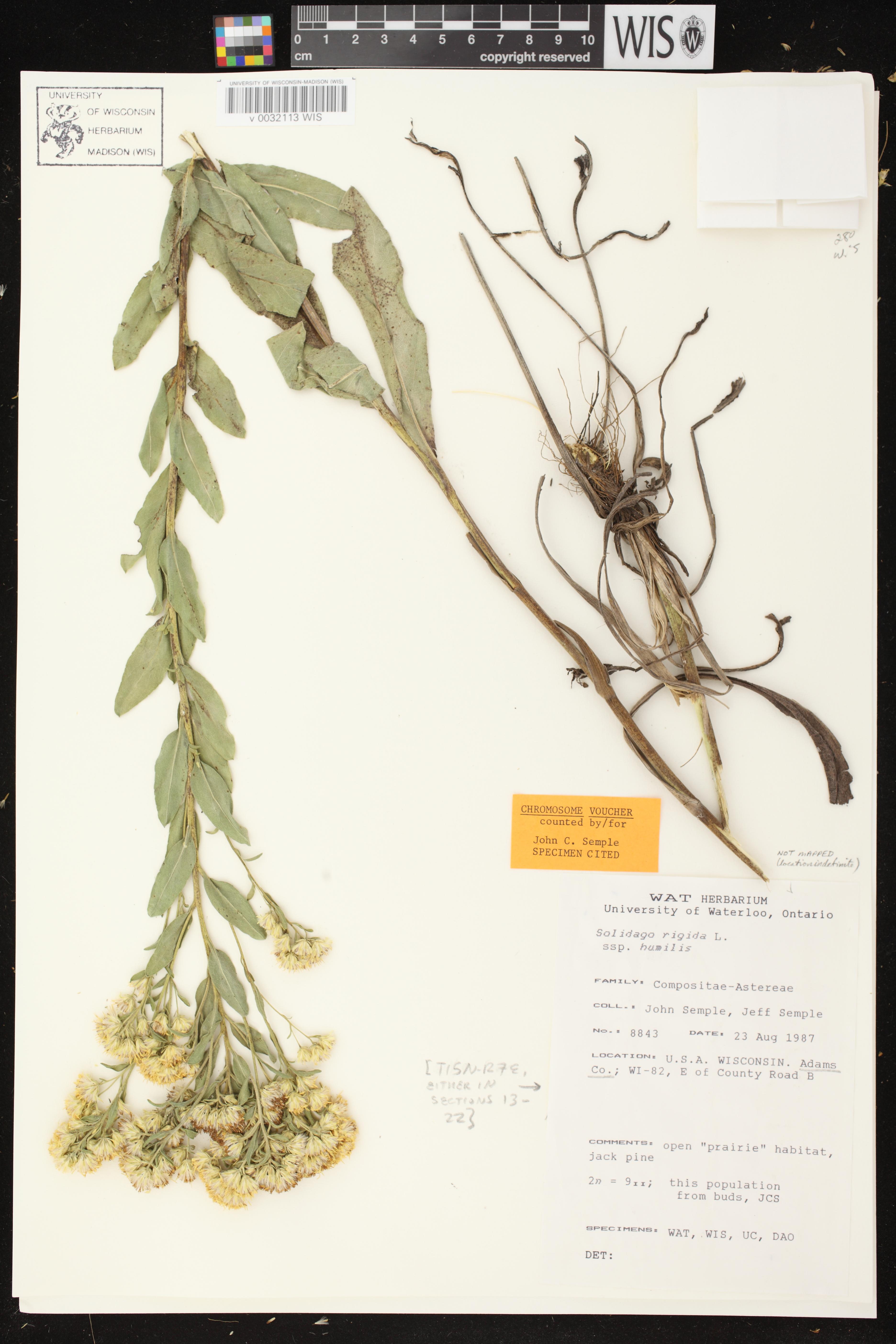 Image of Solidago rigida subsp. humilis