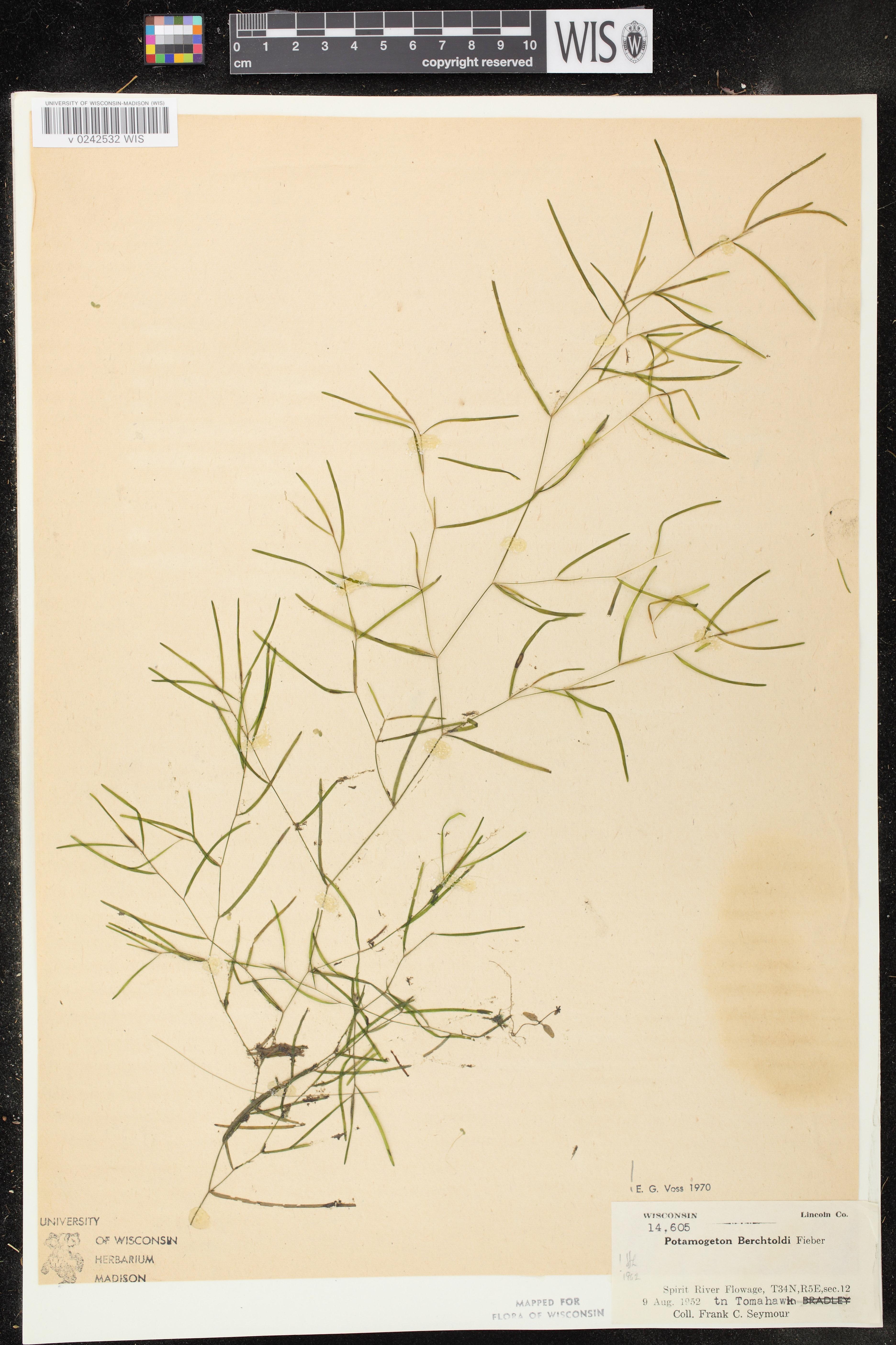 Image of Potamogeton berchtoldii