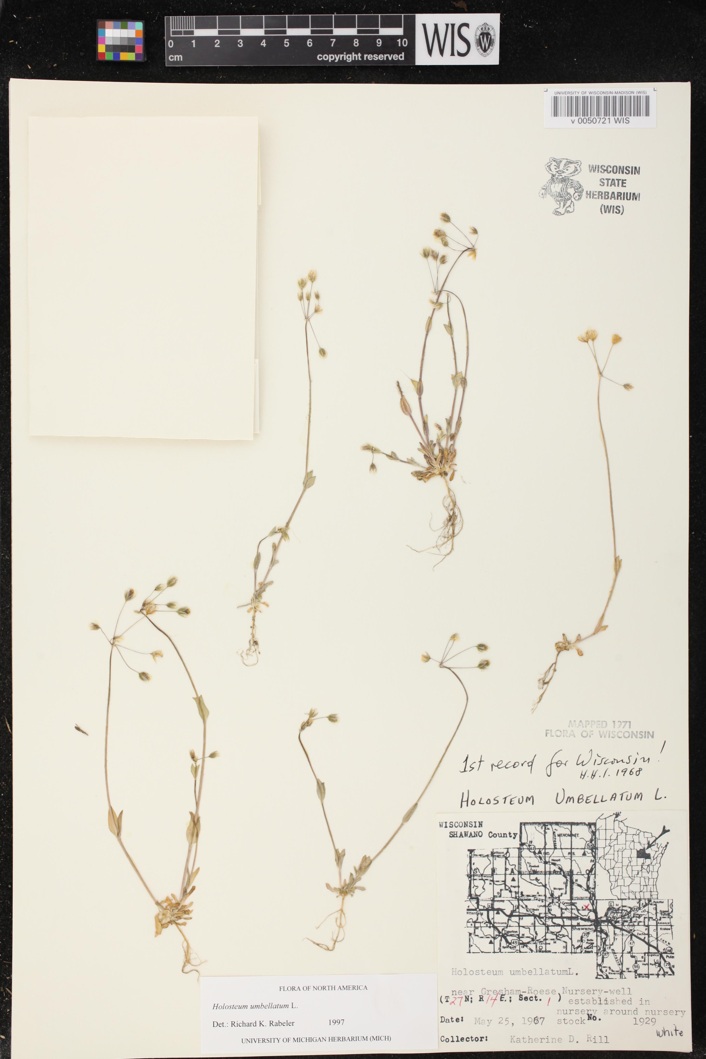 Image of Holosteum umbellatum