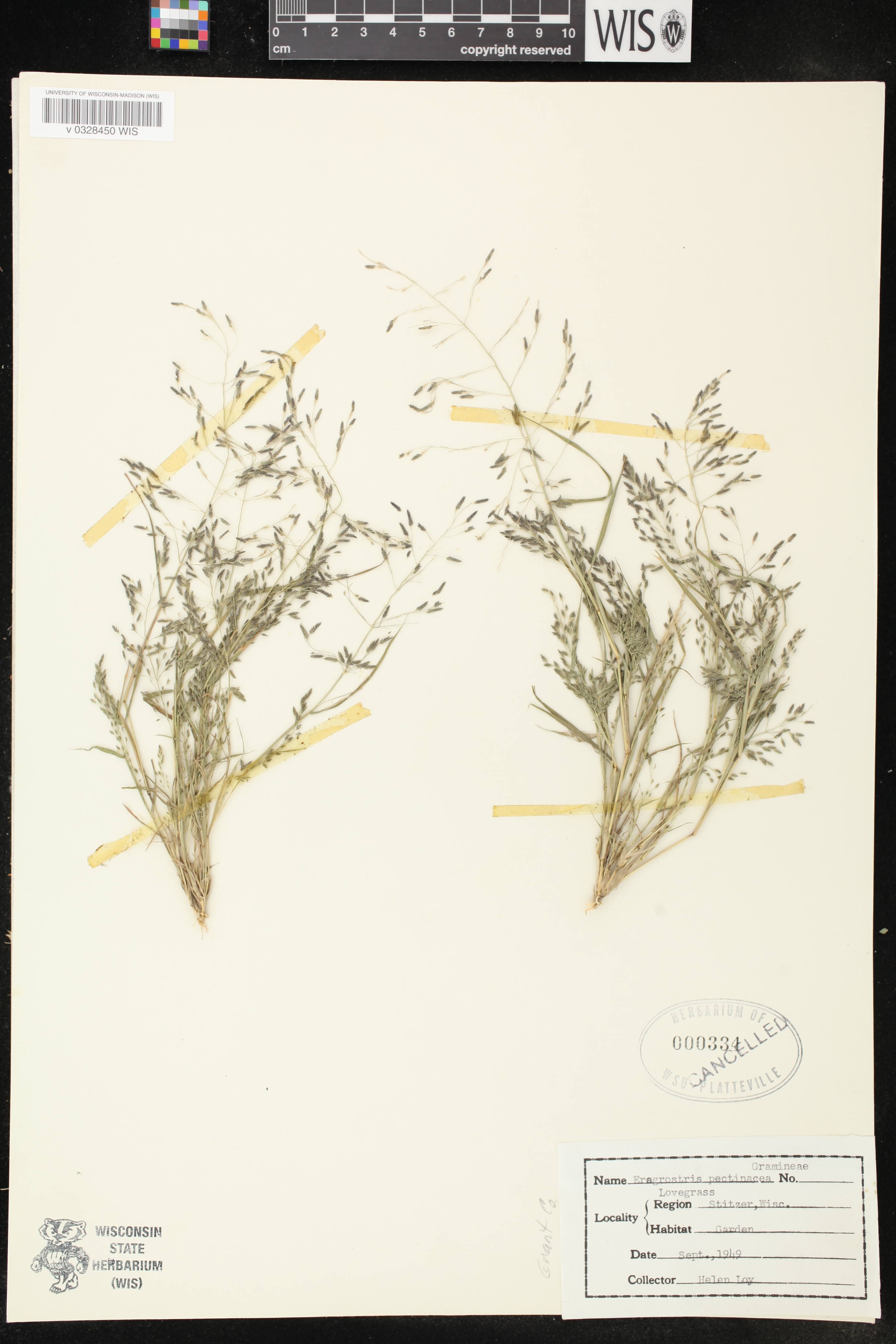Image of Eragrostis spectabilis