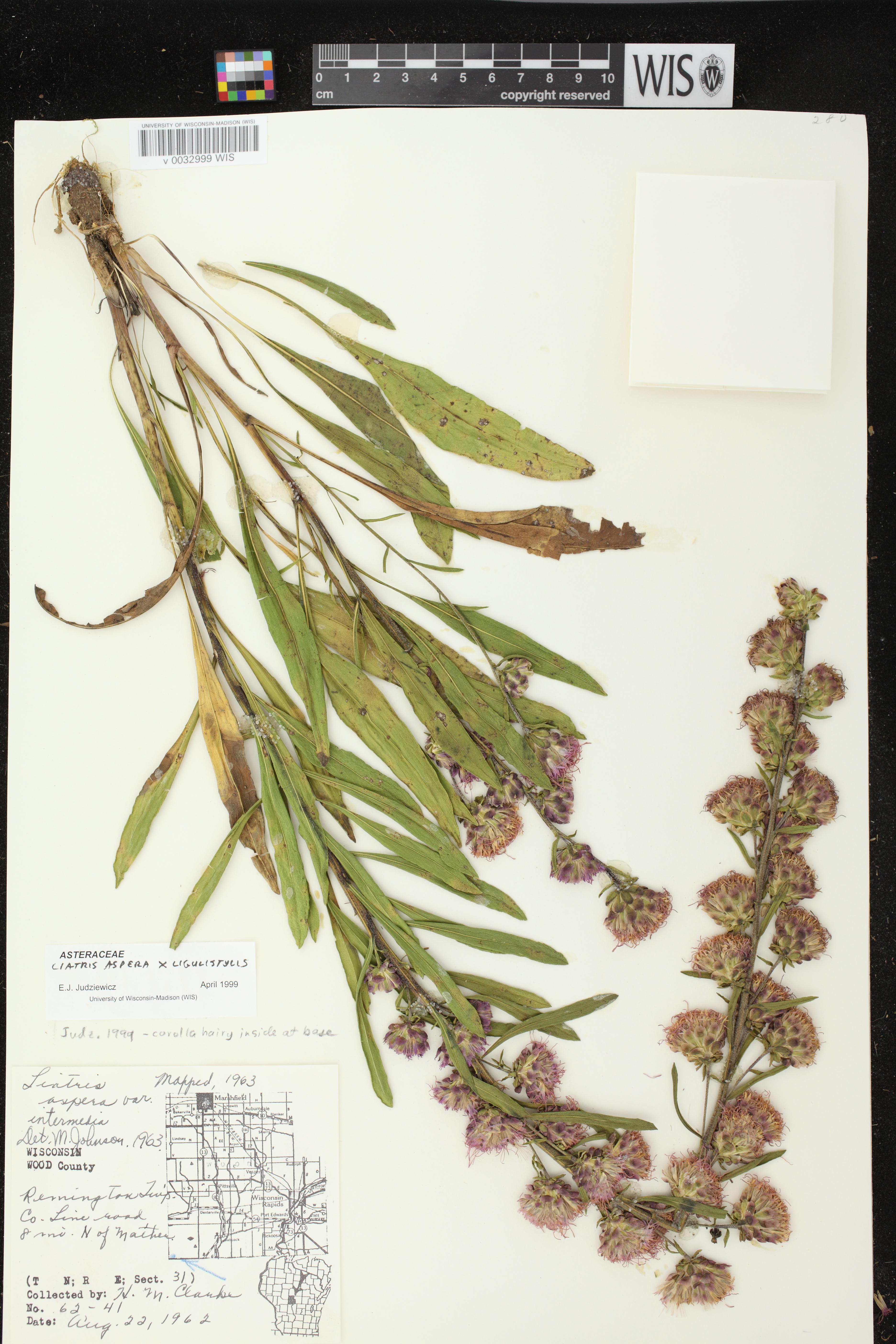 Image of Liatris aspera x l. ligulistylis