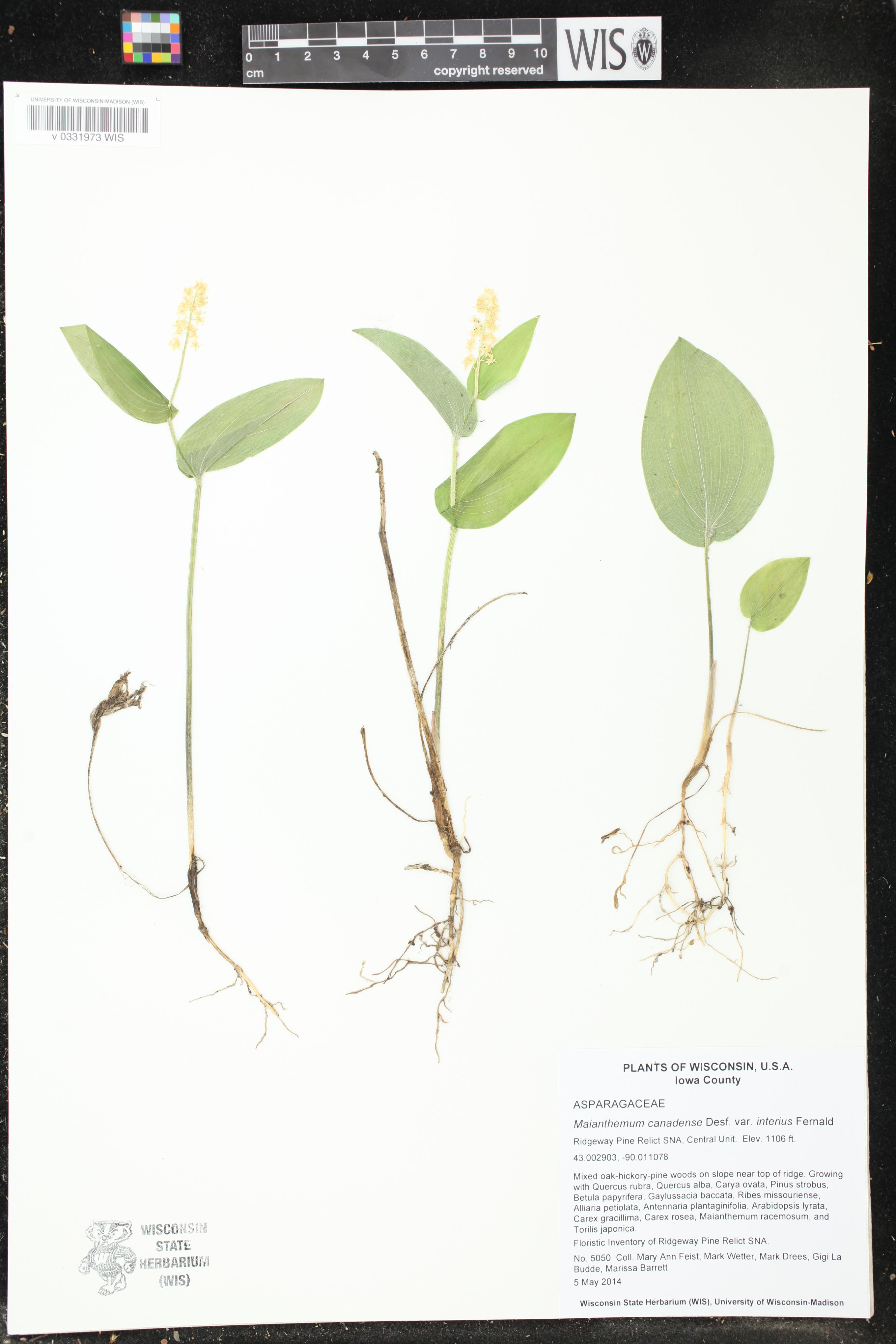 Image of Maianthemum canadense var. interius