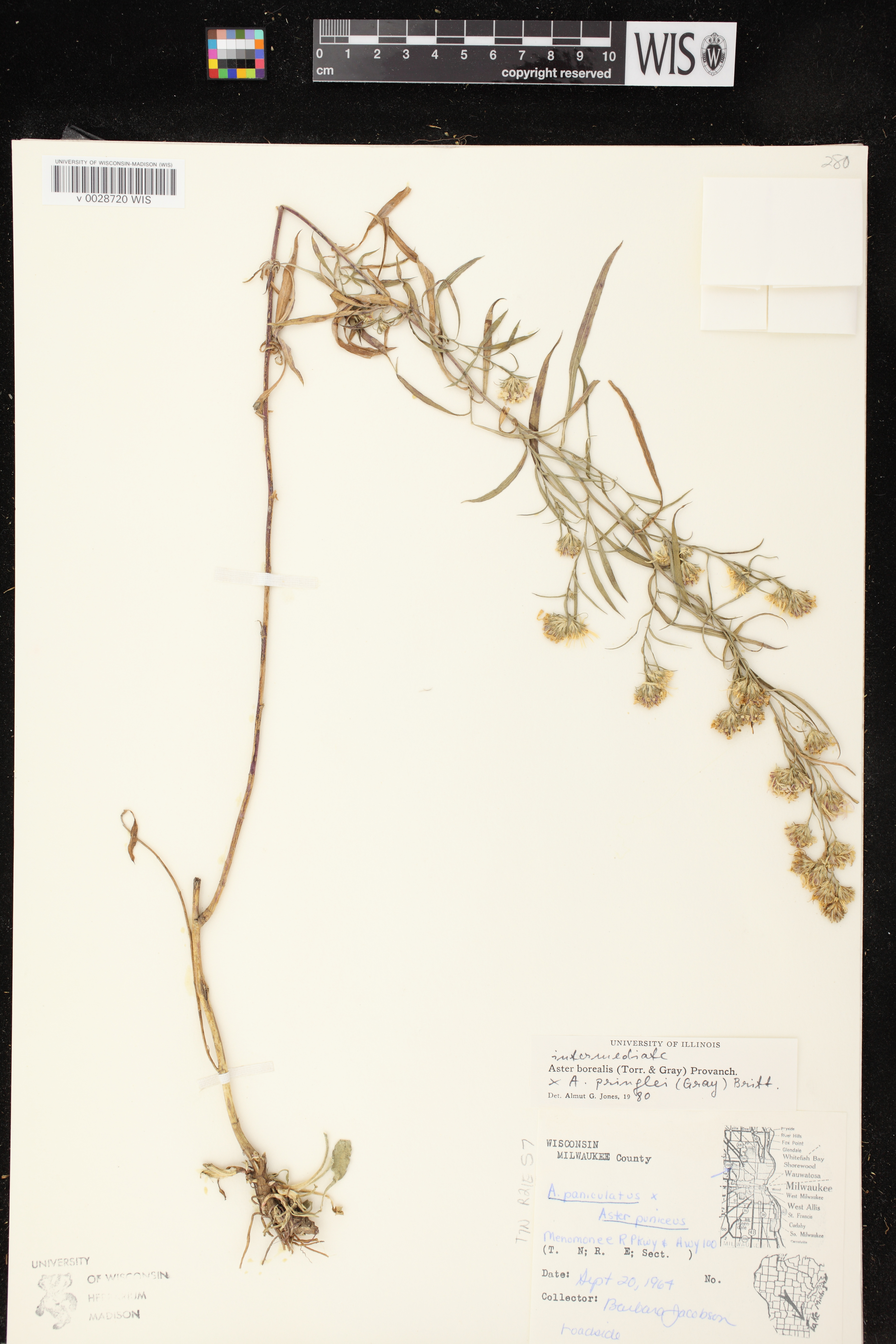 Image of Symphyotrichum boreale x s. pilosum var. pringlei