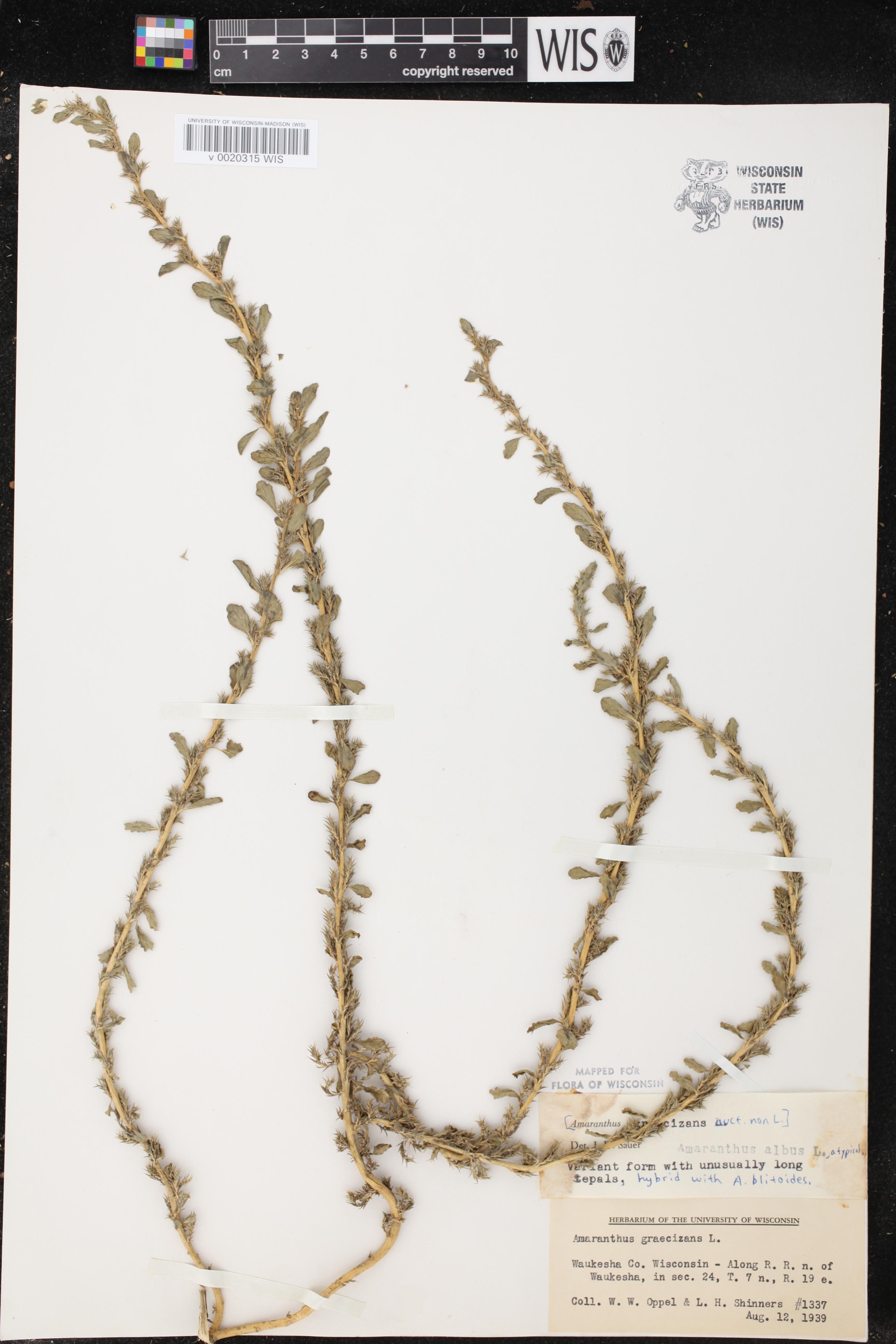 Image of Amaranthus albus x a. blitoides