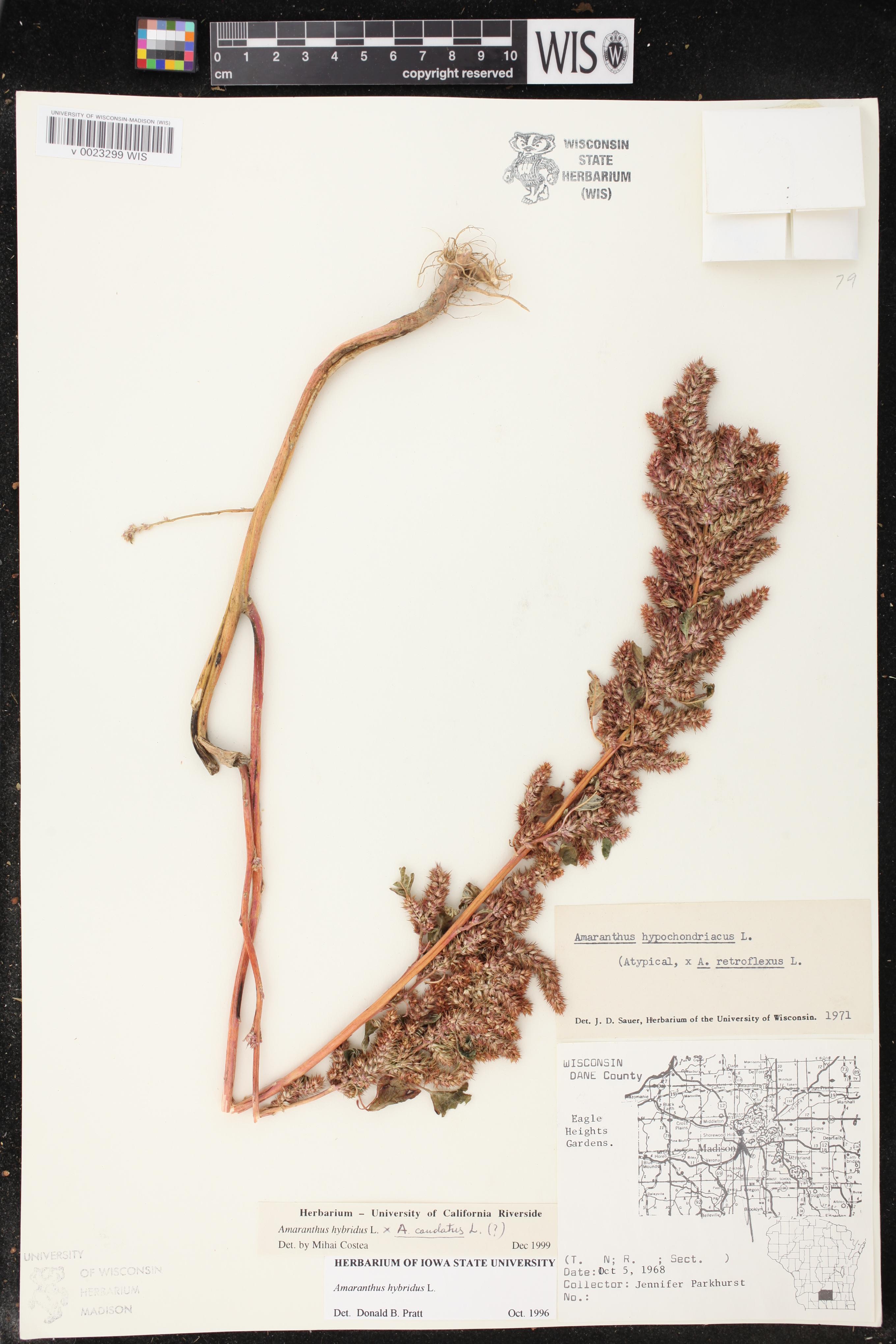 Image of Amaranthus caudatus x a. hybridus