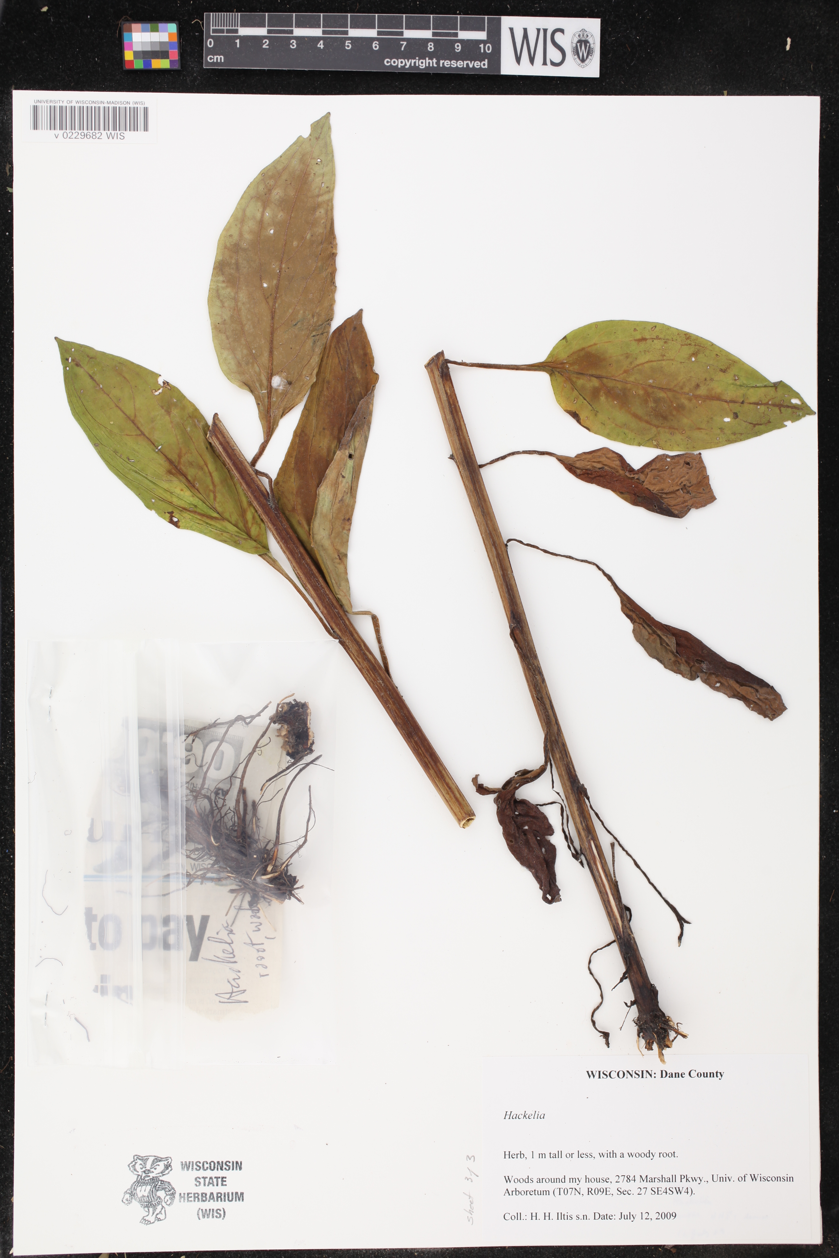 Image of Hackelia