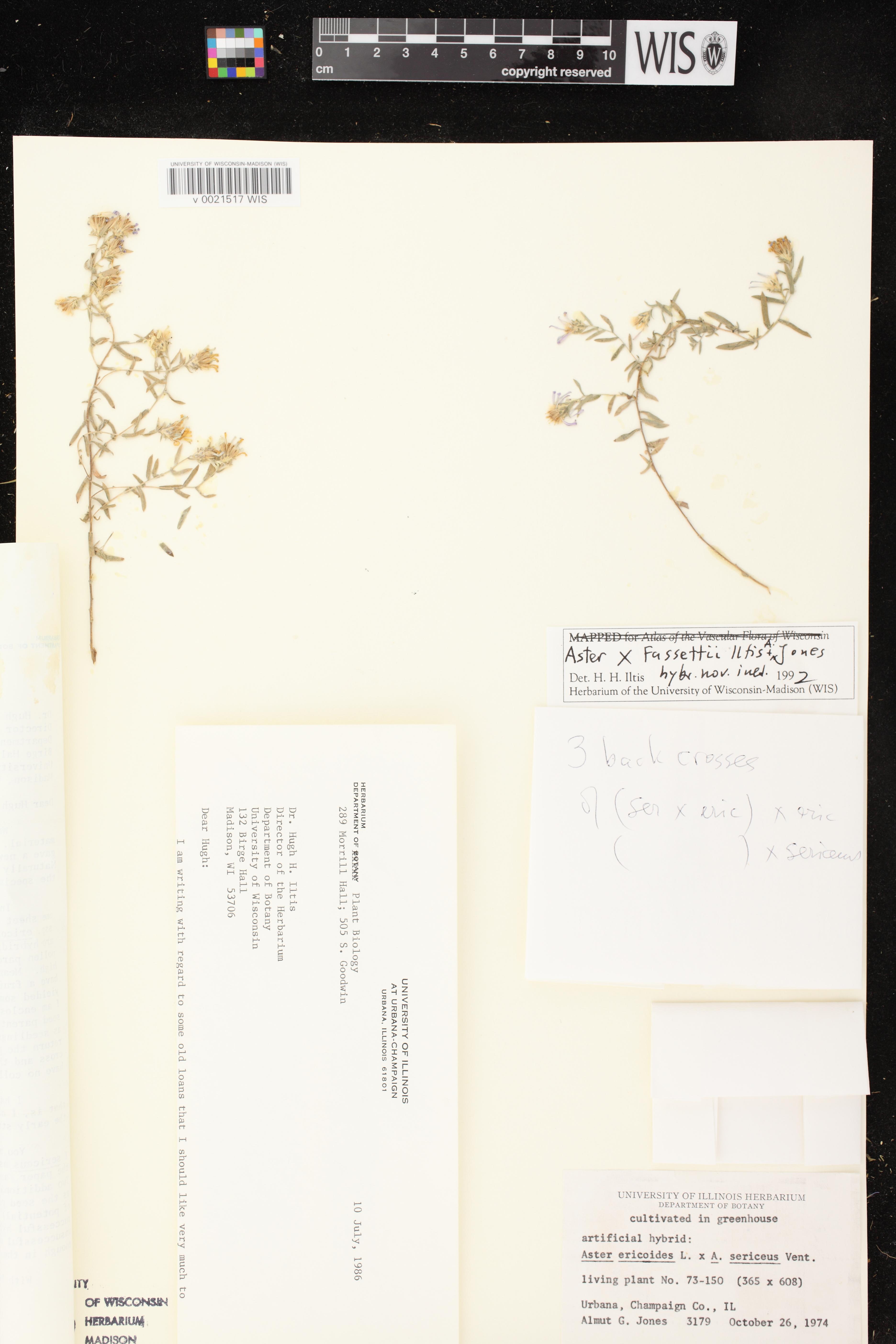 Image of Symphyotrichum ericoides x s. sericeum