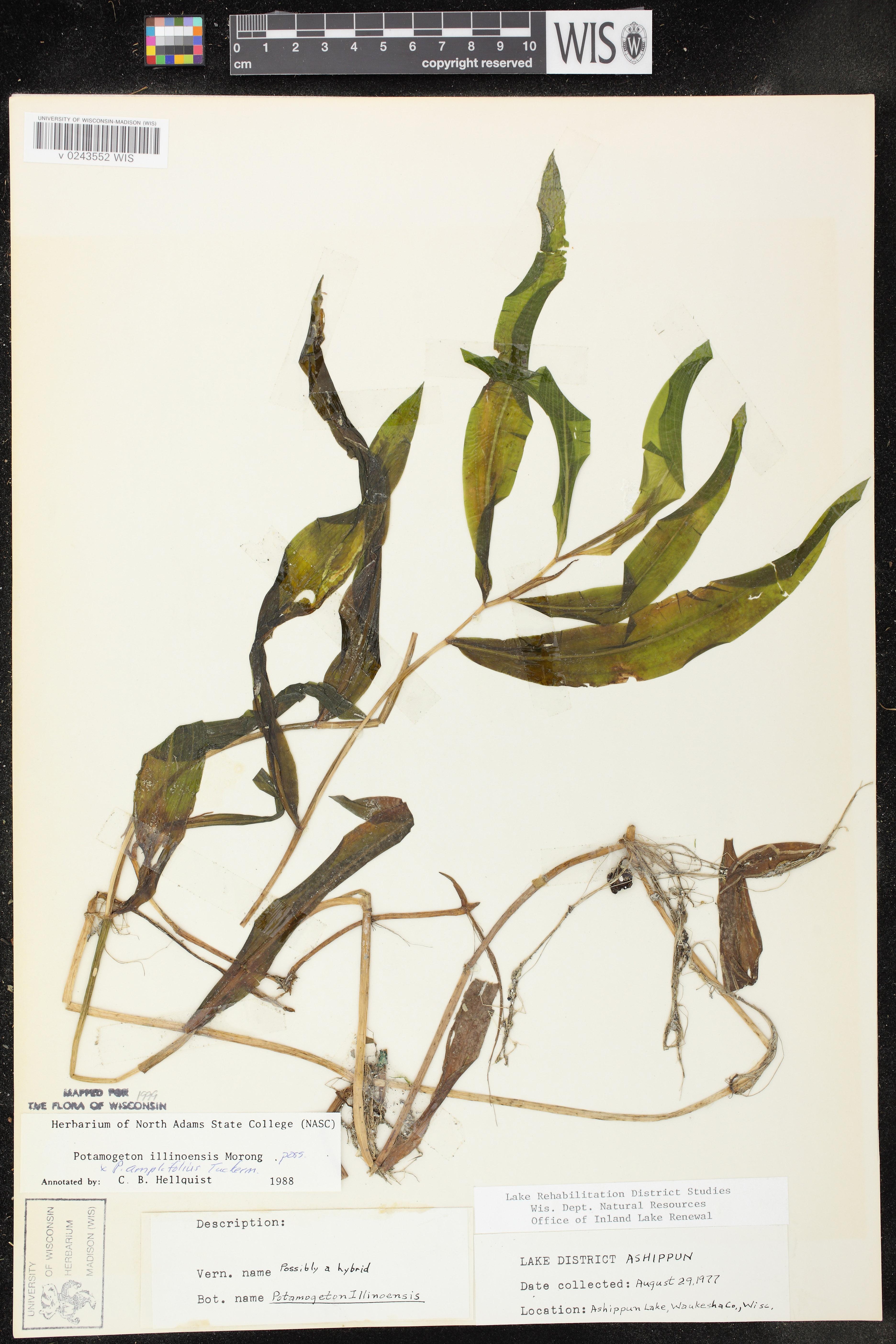 Image of Potamogeton x scoliophyllus
