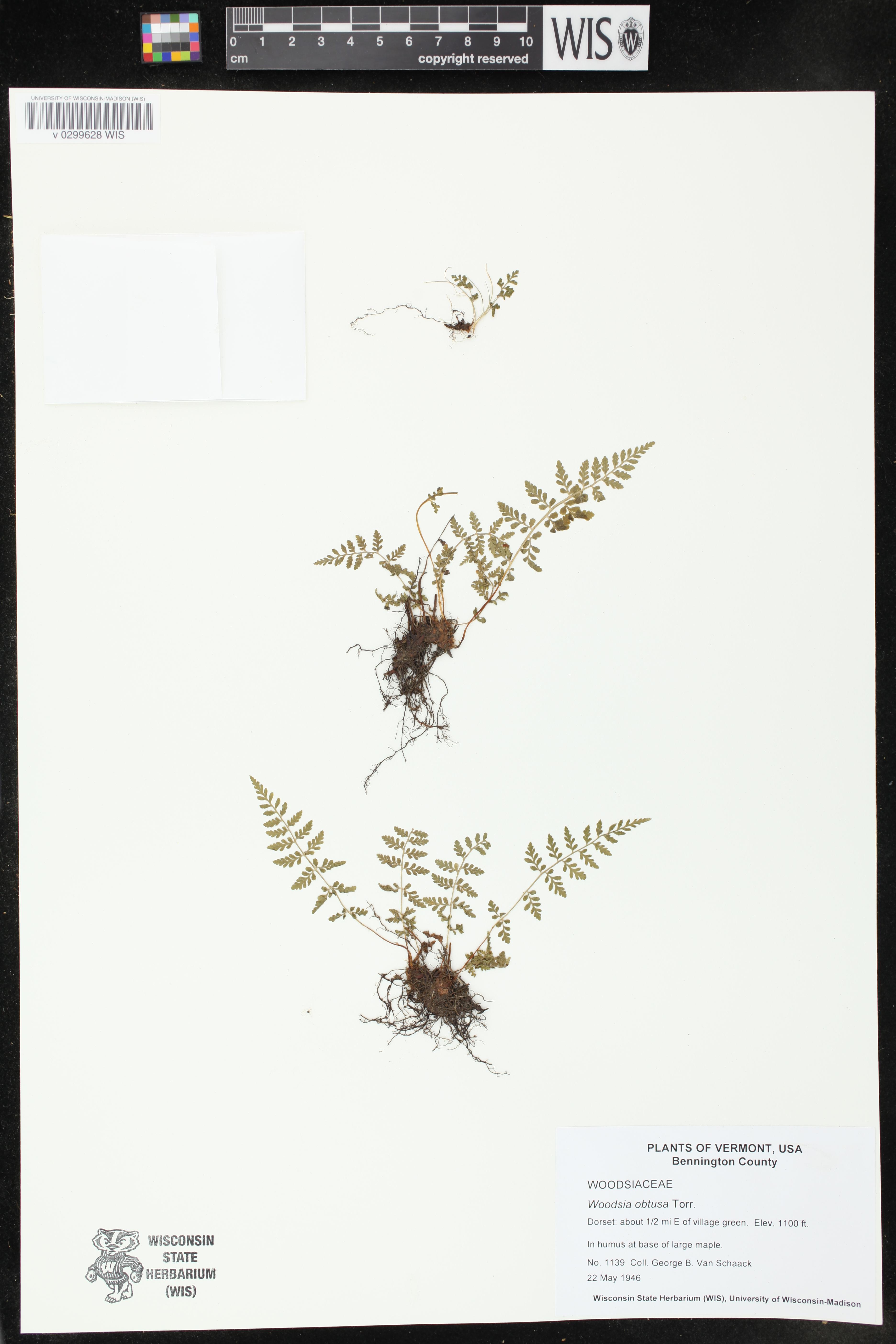 Image of Woodsia obtusa