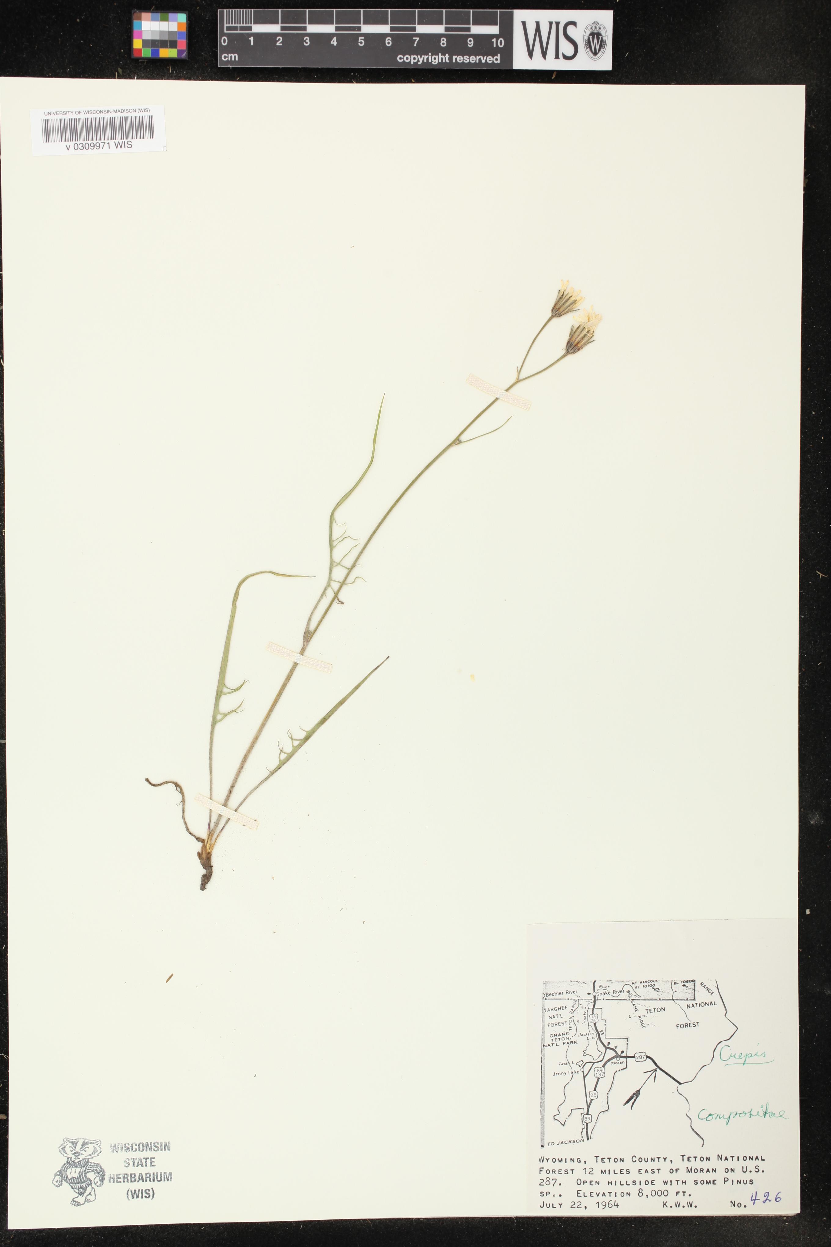 Image of Crepis