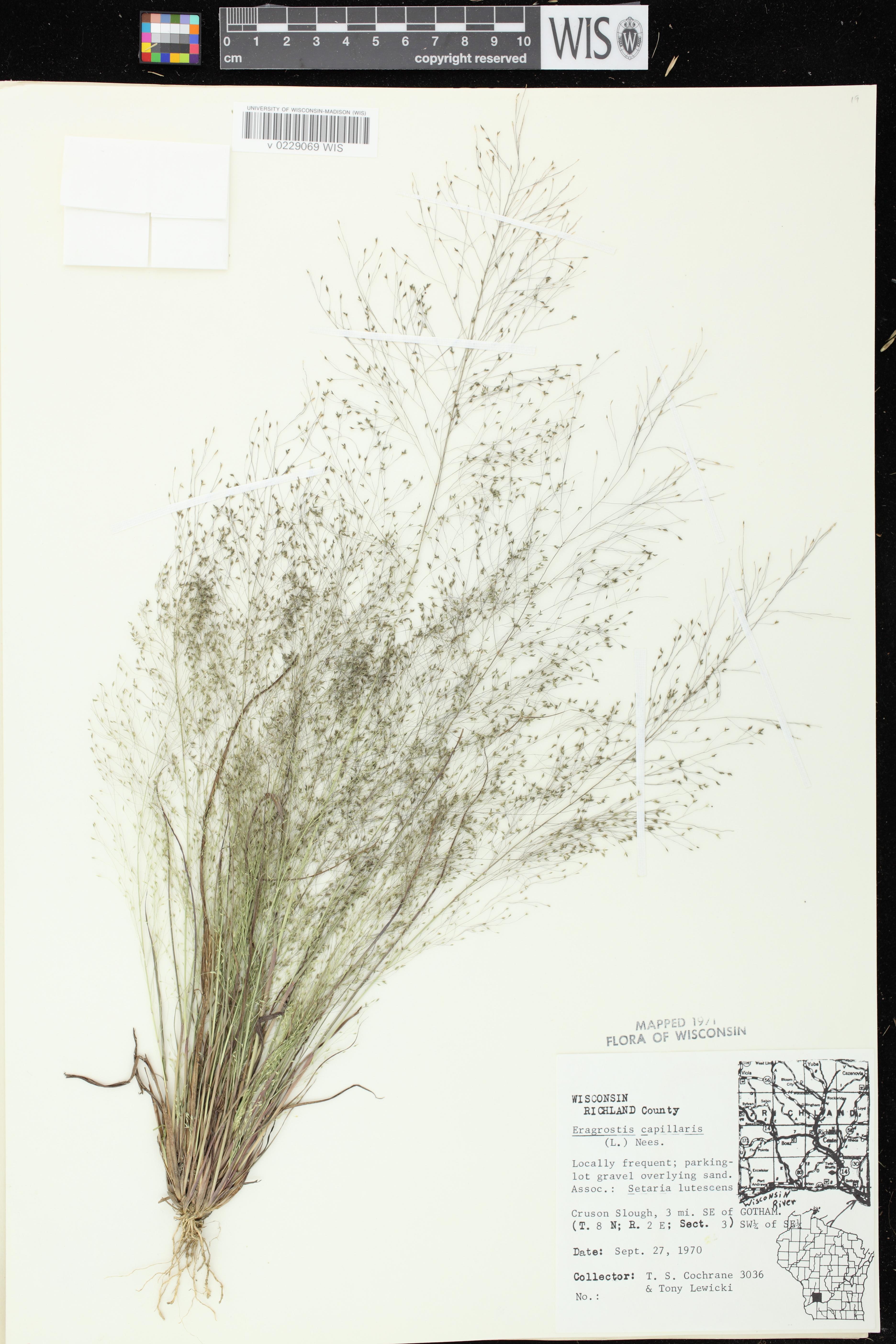 Image of Eragrostis capillaris