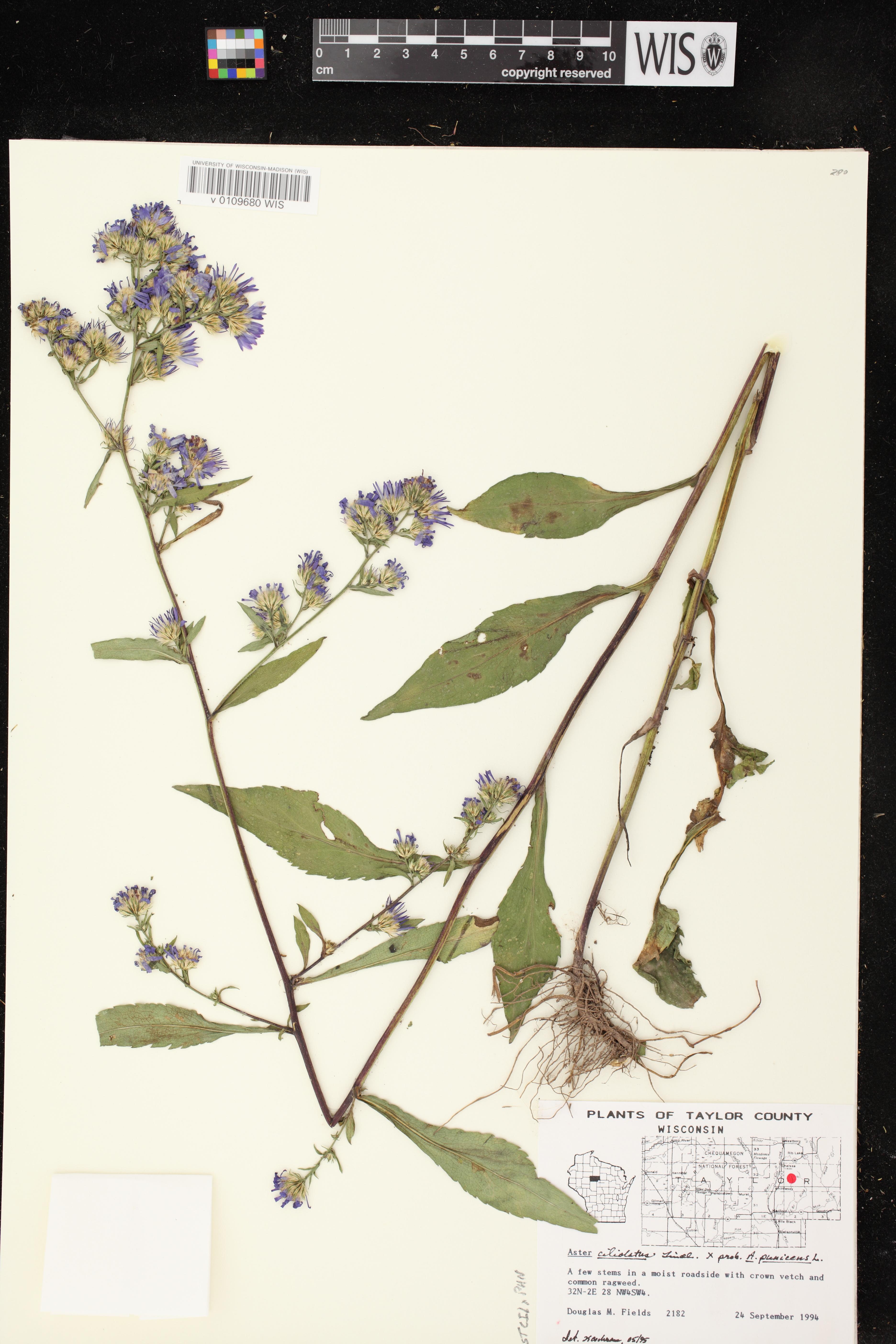 Image of Symphyotrichum ciliolatum x s. puniceum