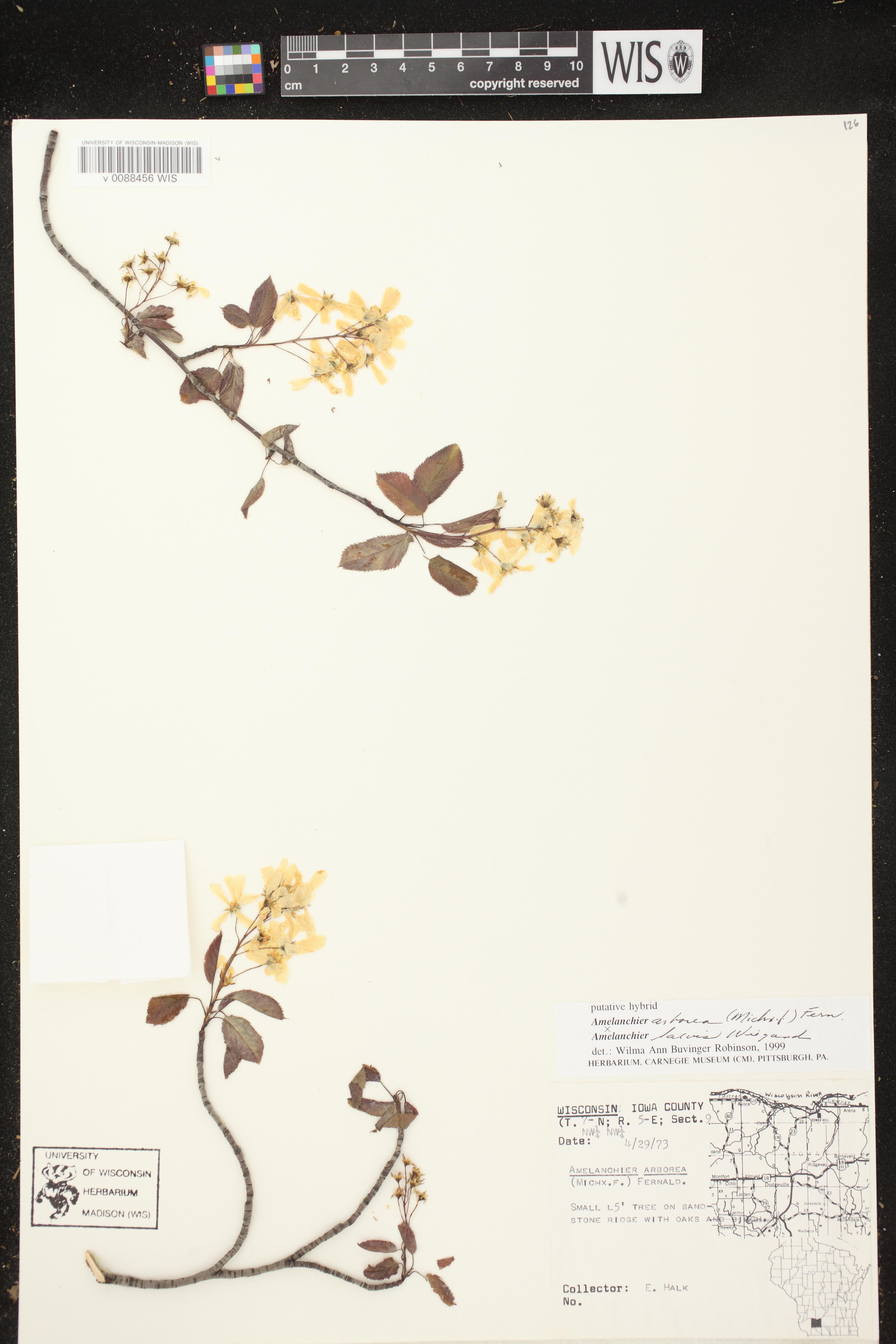 Image of Amelanchier arborea x a. laevis
