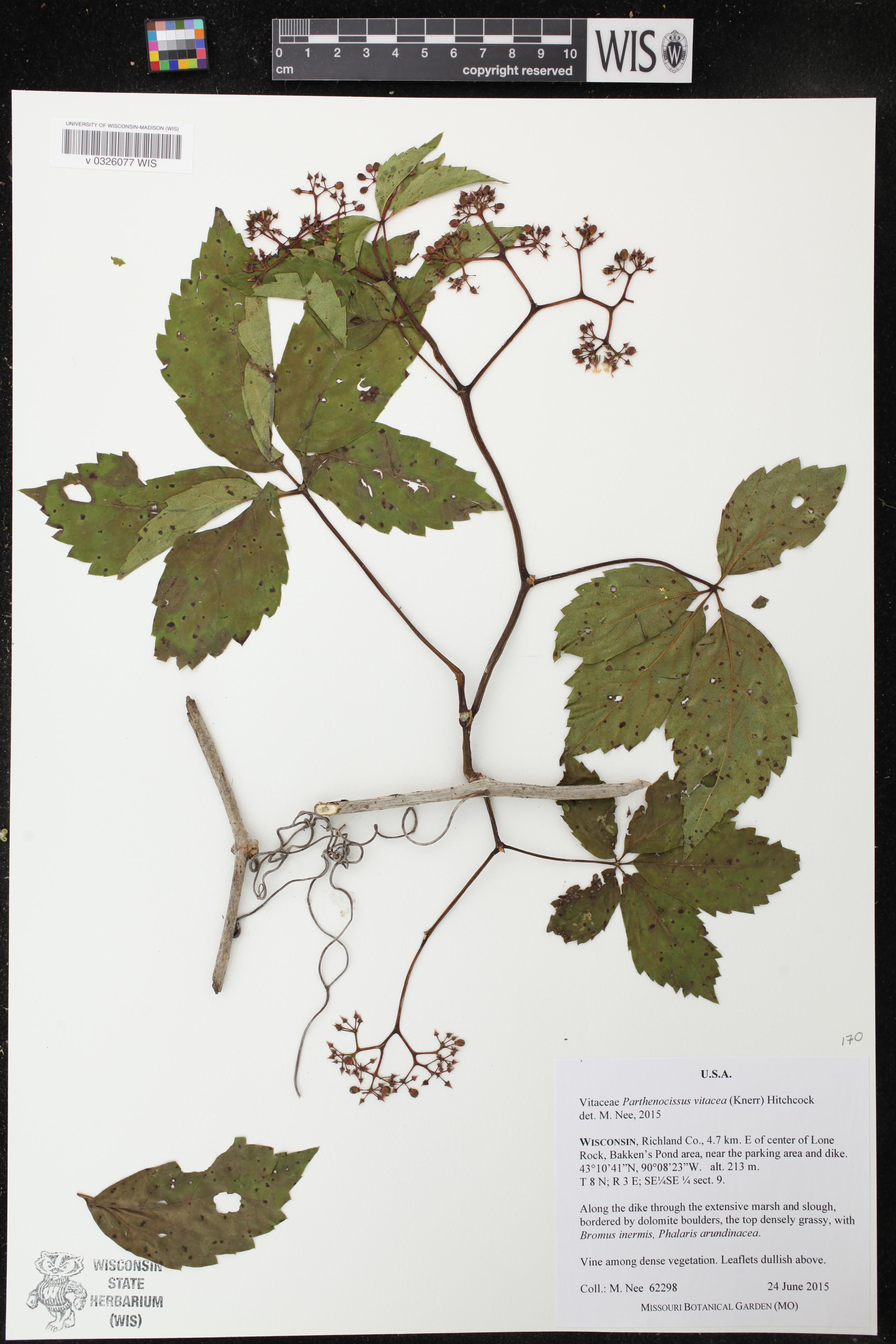 Image of Parthenocissus inserta