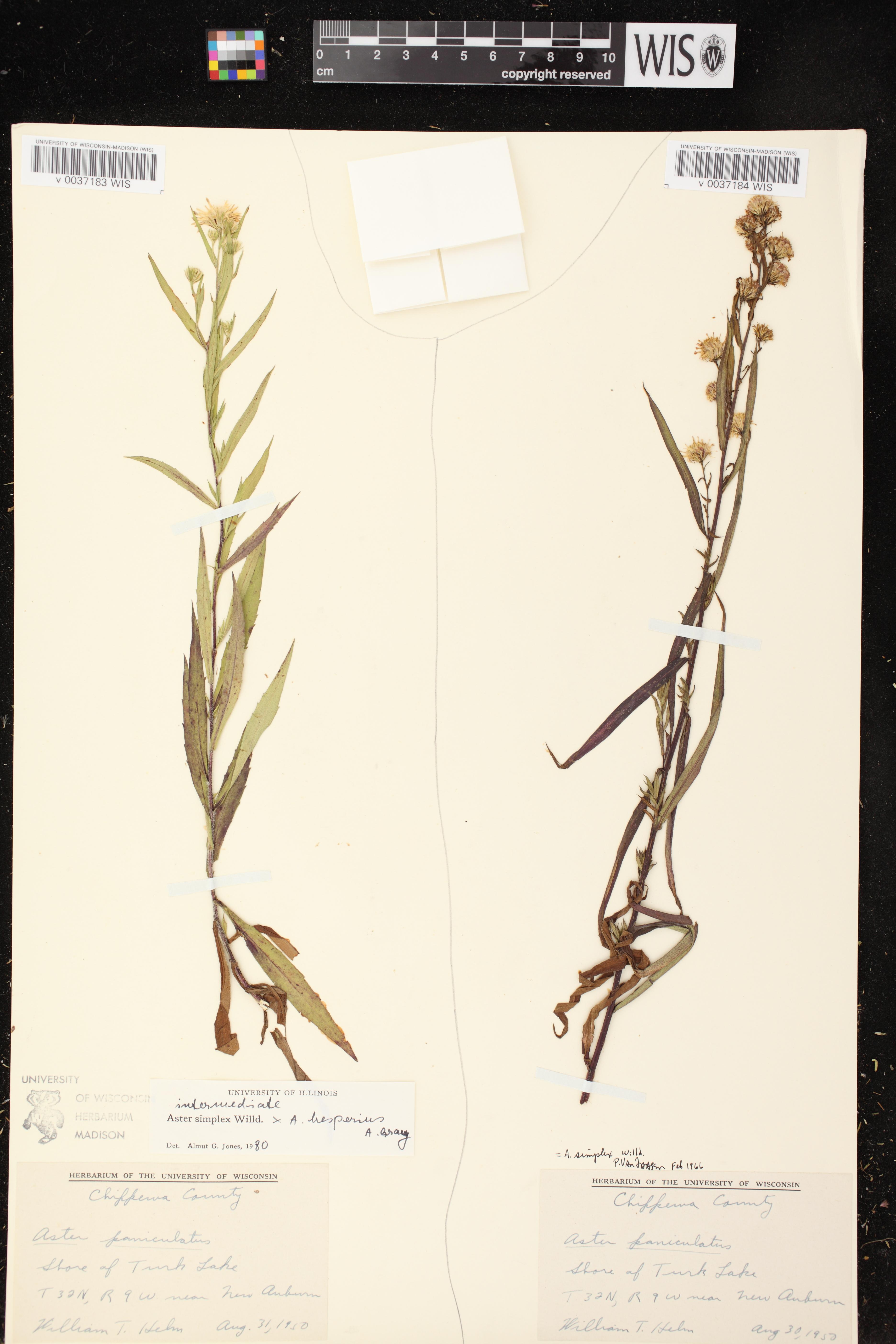 Image of Symphyotrichum lanceolatum var. hesperium x s. lanceolatum var. lanceolatum